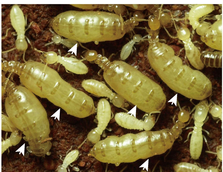 Termite Queen Termite Pictures