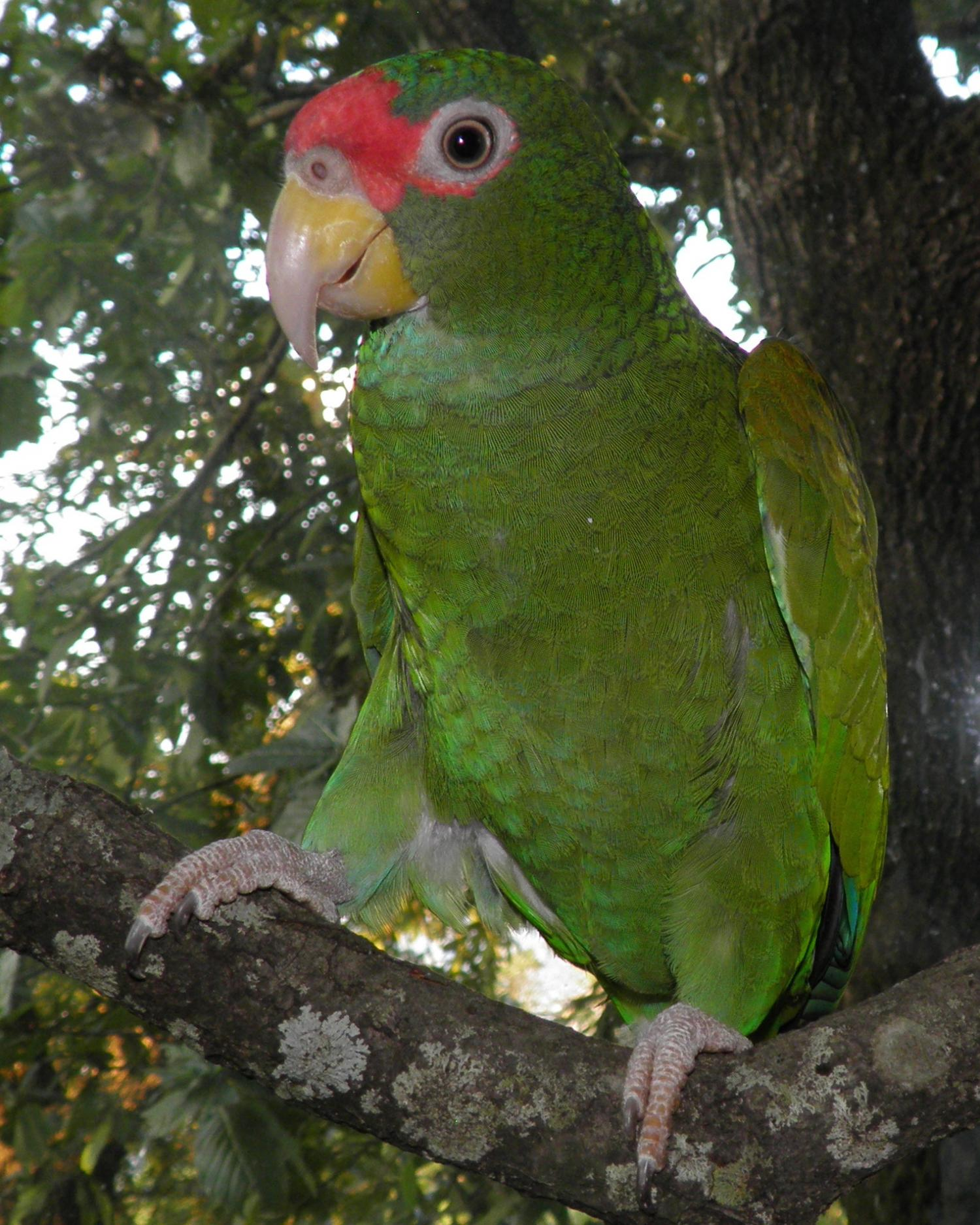 the blue winged amazon a new parrot species from the yucatan peninsula