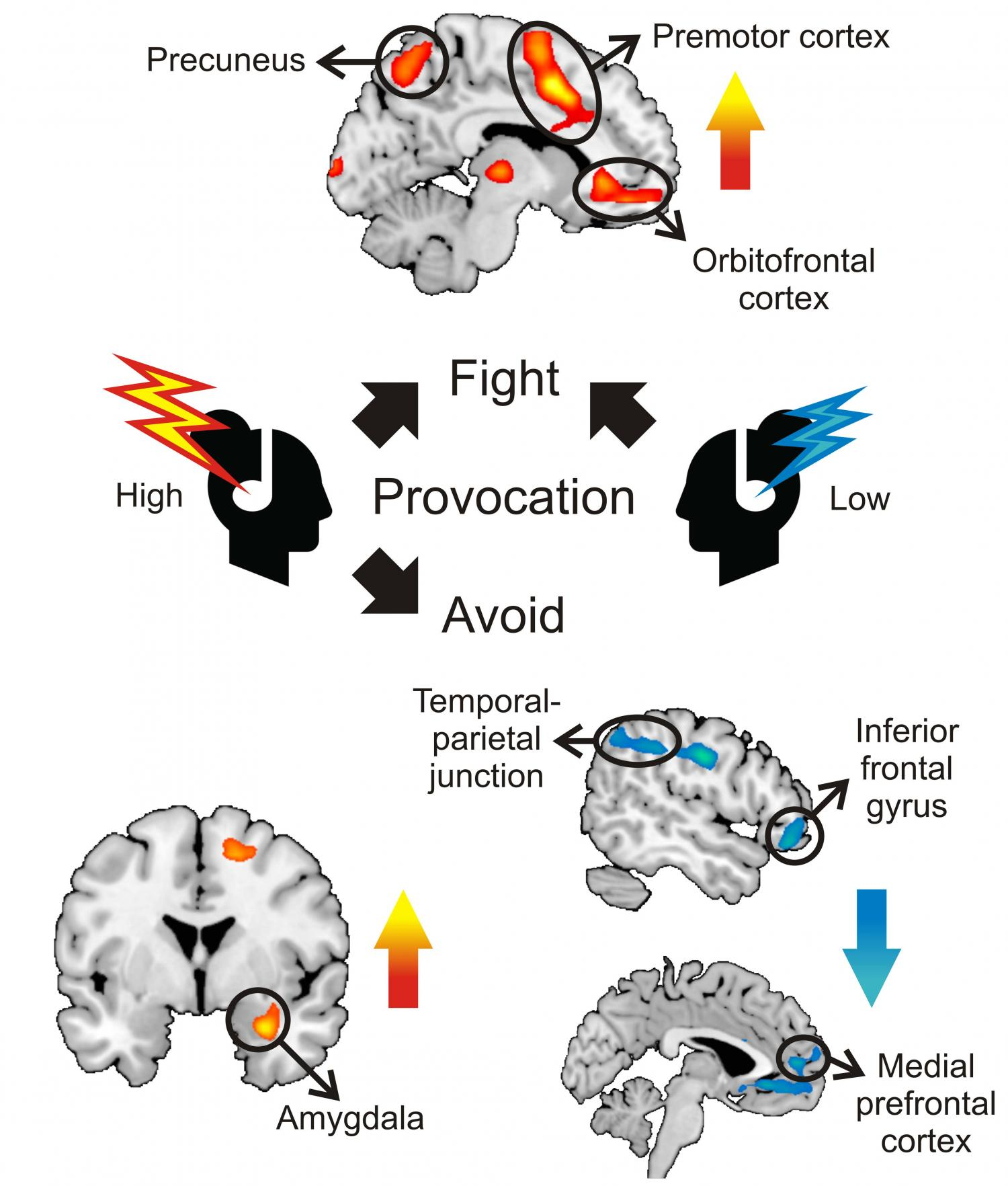 The brain s fight and flight responses to social threat
