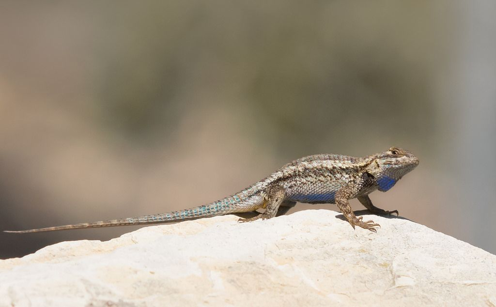 the color of people s clothing affects lizard escape behavior