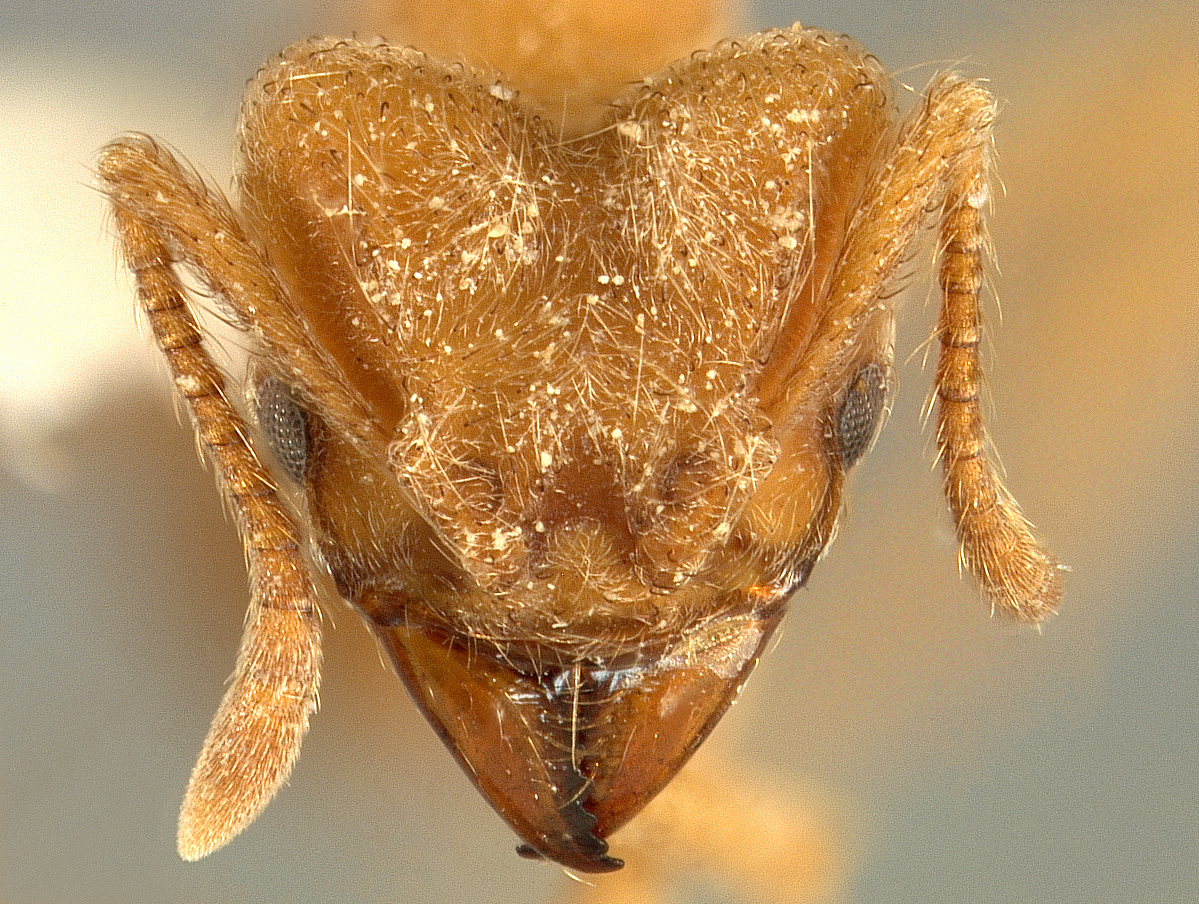 radiohead ant a new species of u0027silky u0027 ant grows fungus gardens