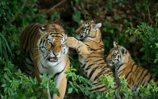 tiger - photo #36