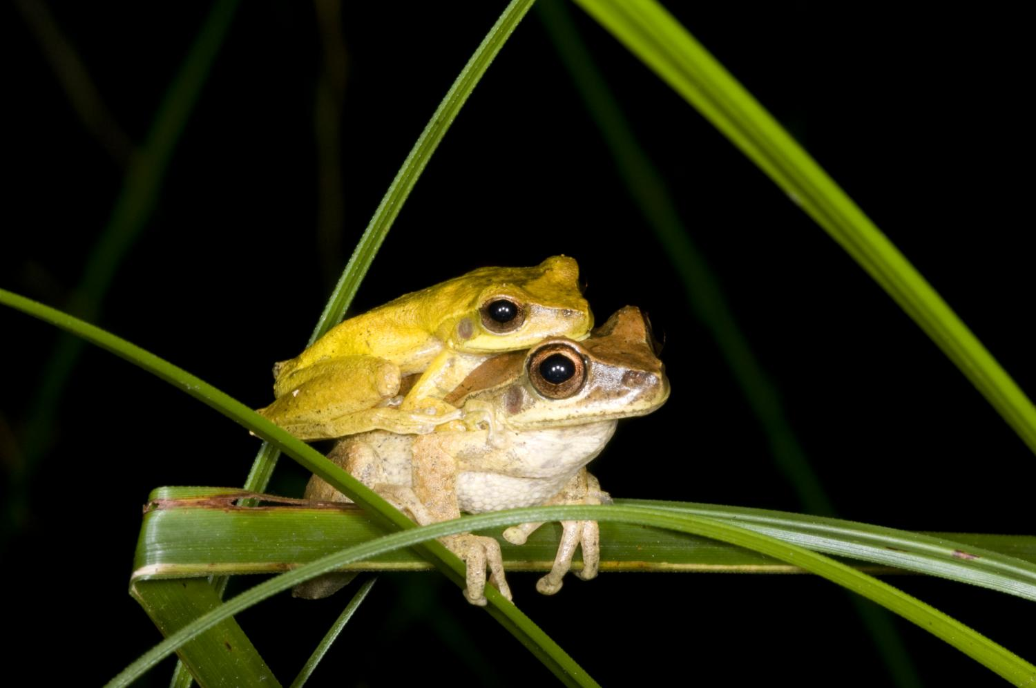 This Dance Is Taken Hundreds Of Male Frog Species Change Colors