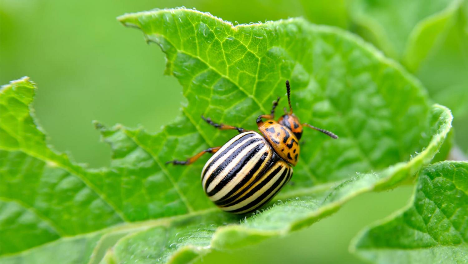Fighting the Colorado potato beetle folk remedies. Methods of struggle 8