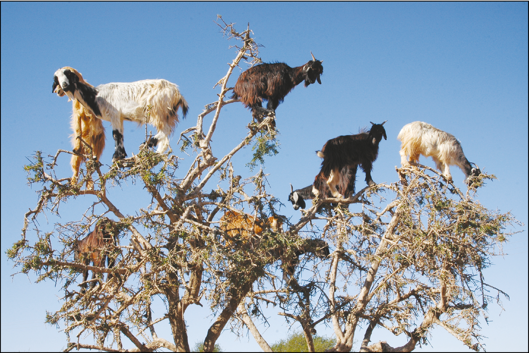 tree climbing goats disperse seeds by spitting