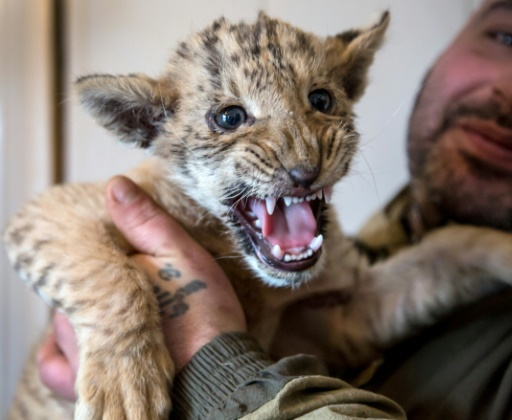 king of the zoo liger cub tsar is russian hit