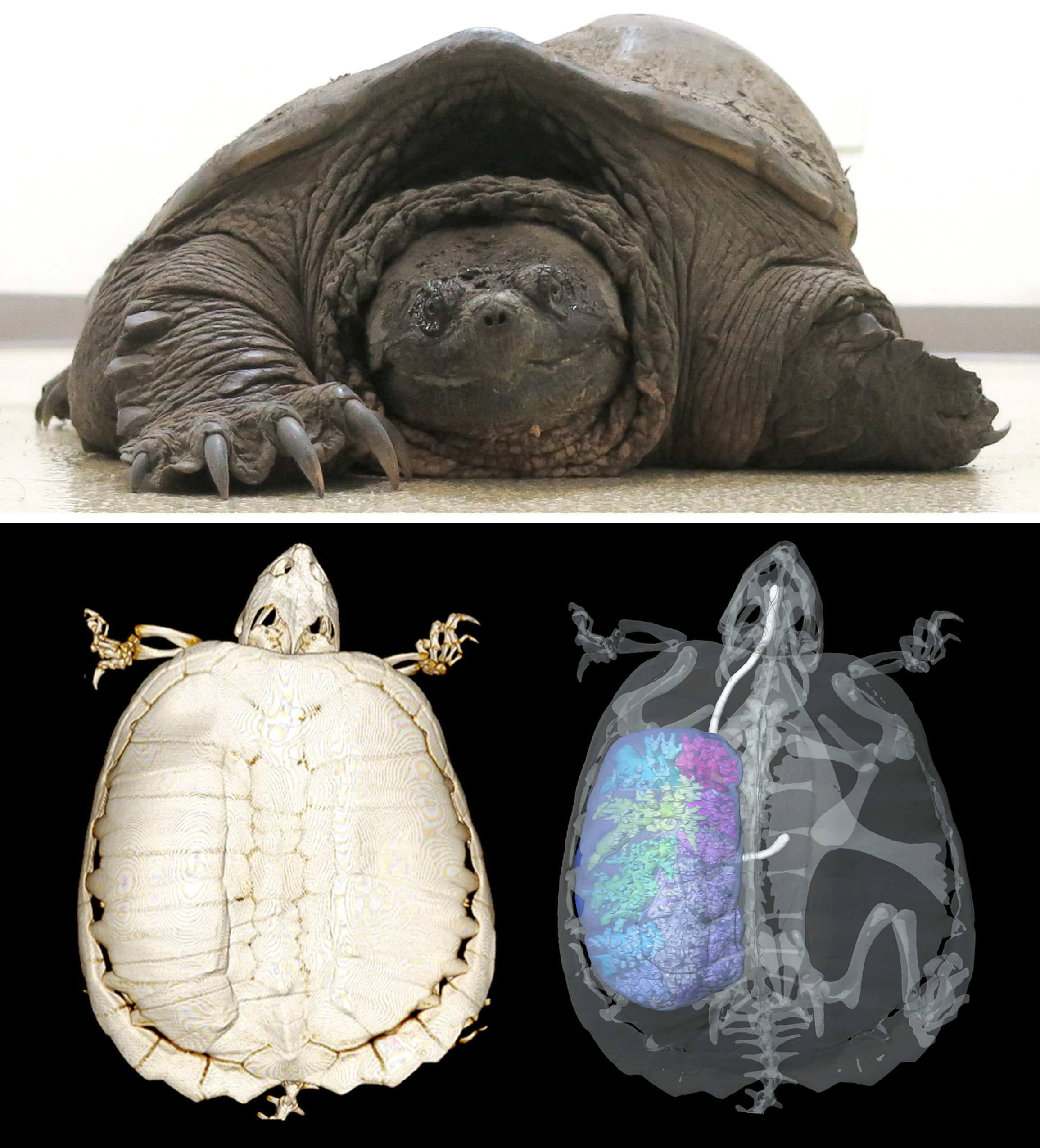 Turtles and technology advance understanding of lung abnormality