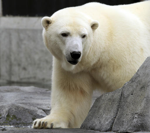 Polar Bears May Go Extinct if Carbon Emissions Aren't Reduced