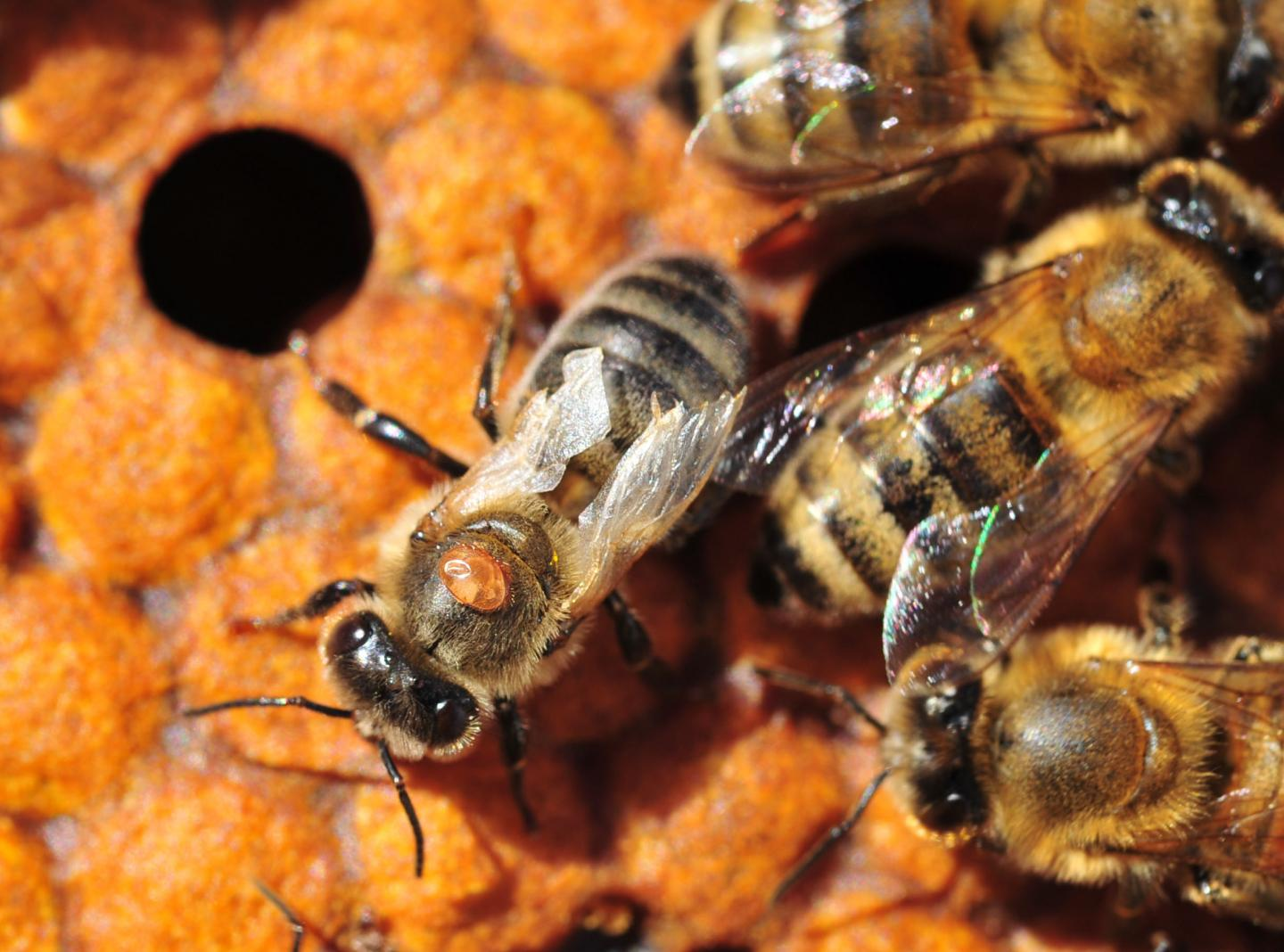 varroa destructor and honey bee relationship with plants
