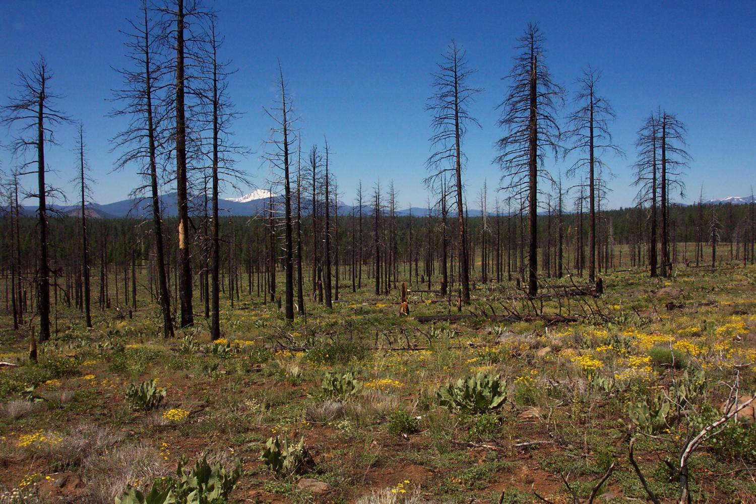 Vegetation resilient to salvage logging after severe wildfire