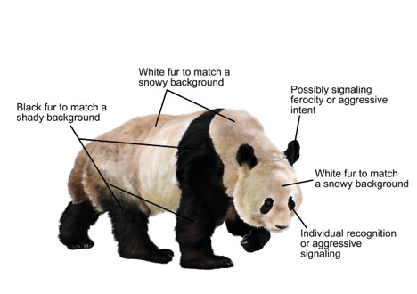 Why giant pandas are black and white