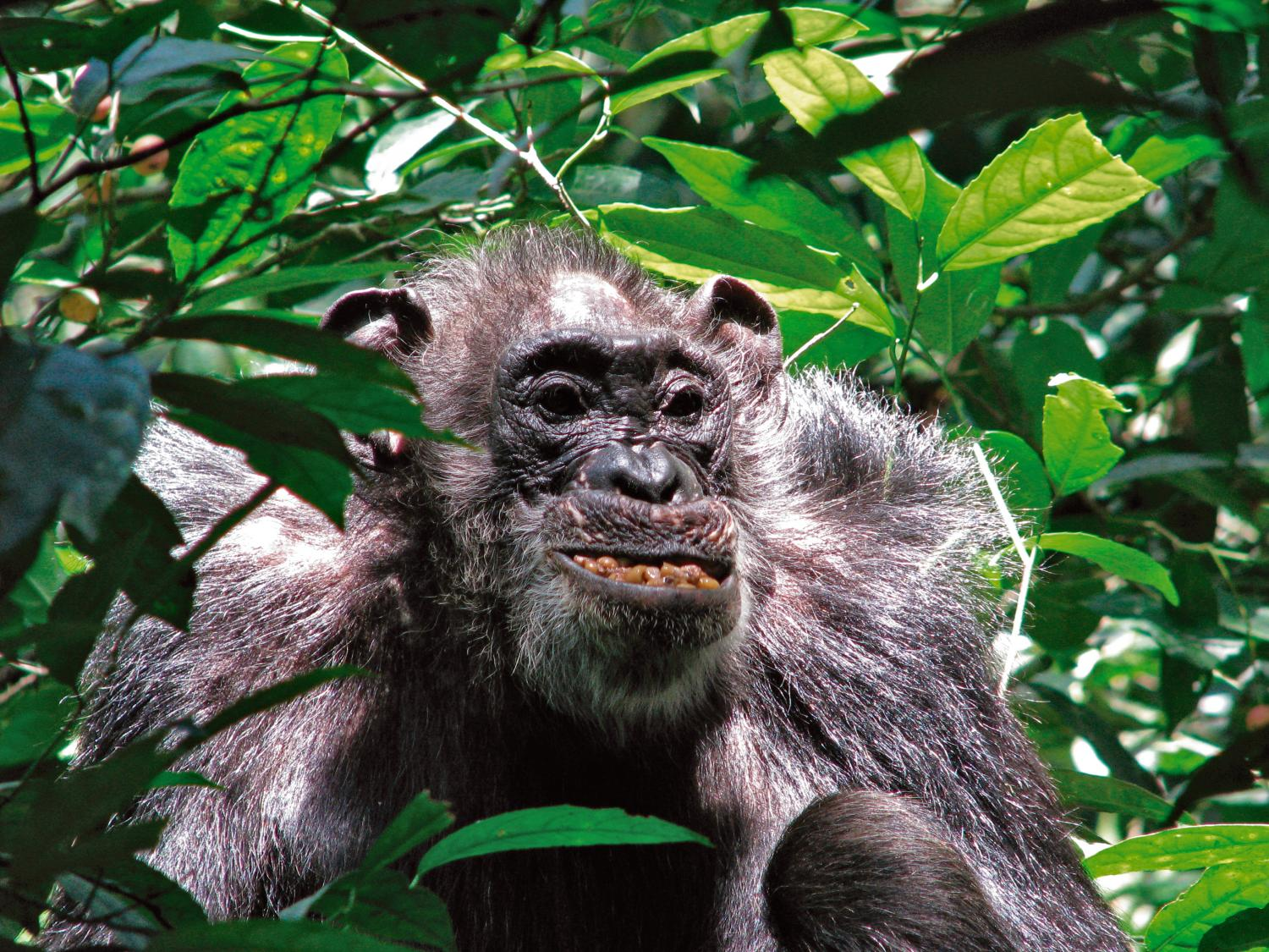 photo image Wild chimpanzees have surprisingly long life spans