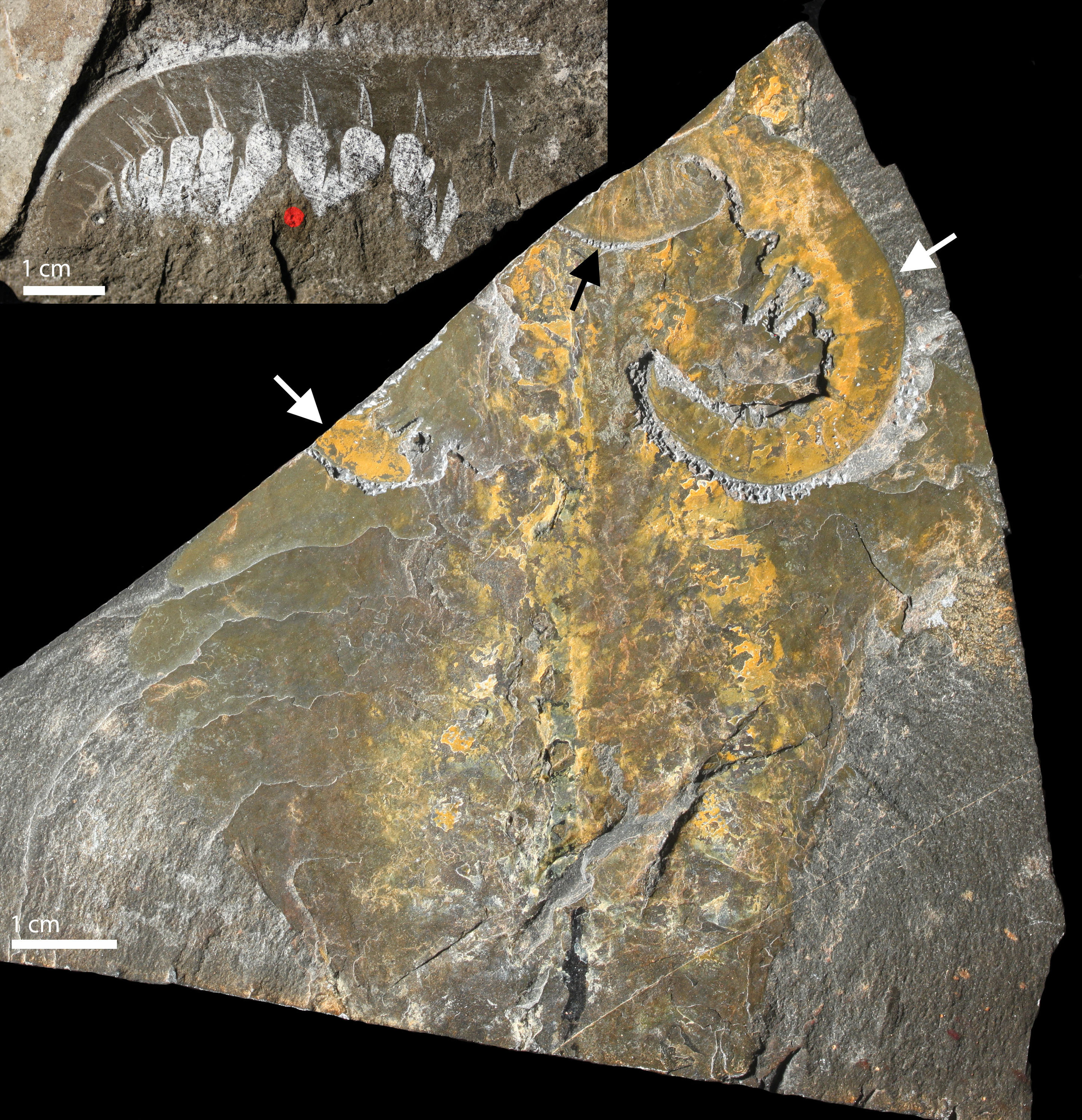fossil study Fossil evidence of corals a  careful study of both body and trace fossils can answer questions about life and evolution fossils also provide informa.