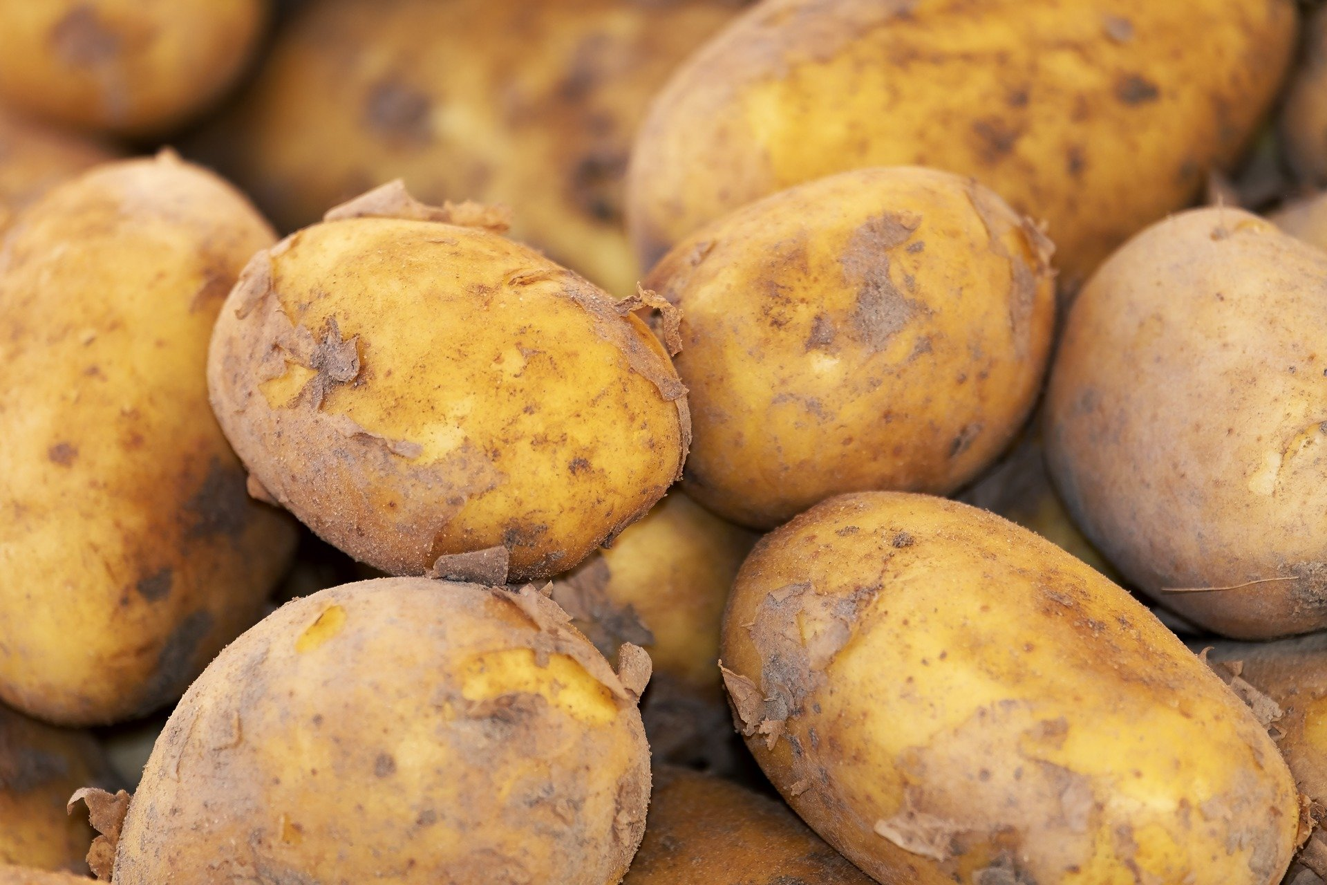 Did eating starchy foods give humans an evolutionary advantage?