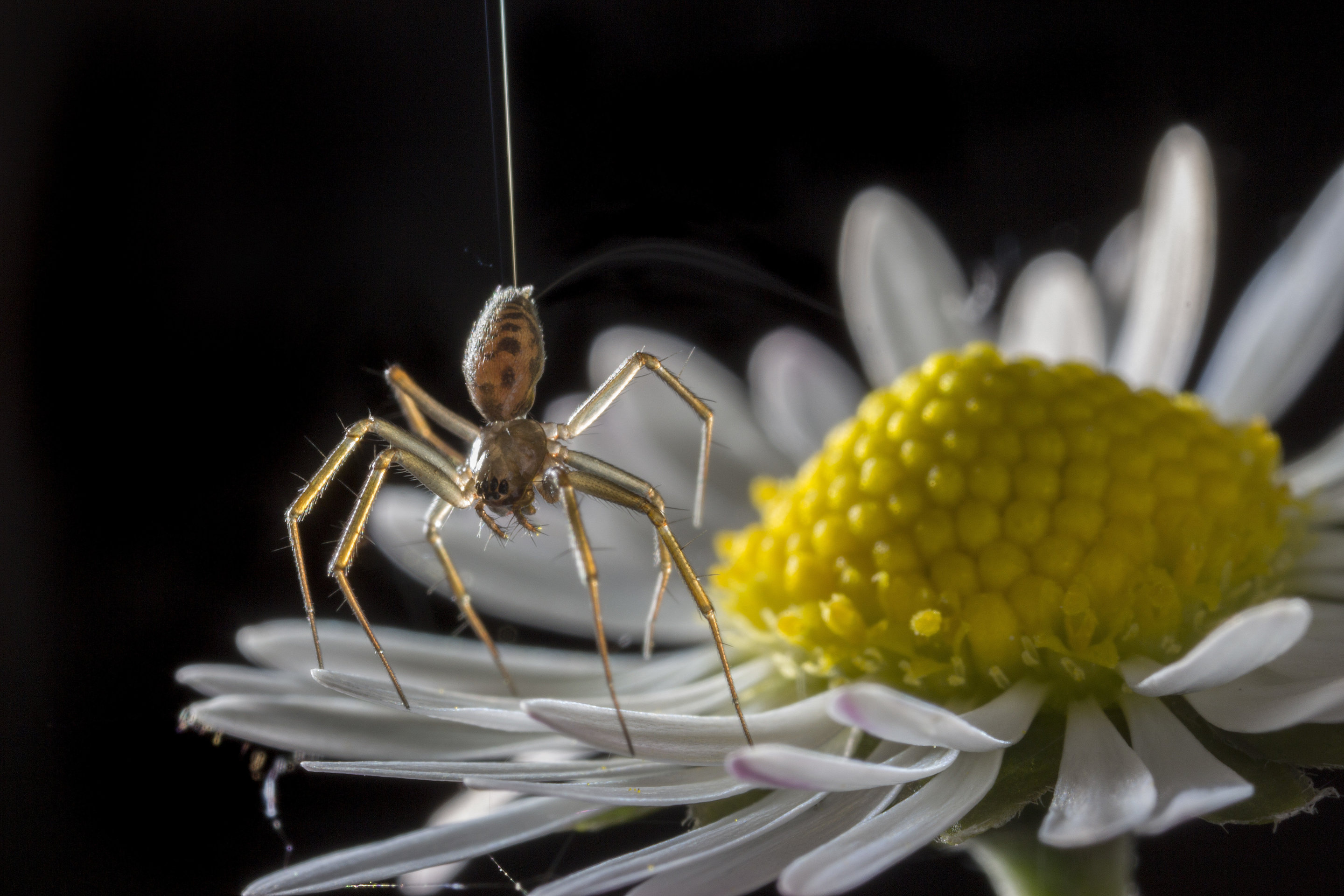 Spiders Go Ballooning On Electric Fields Magnetic Field This Property Lets It Trigger An Electronic Circuit Spider Showing A Tiptoe Stance Daisy Credit Michael Hutchinson