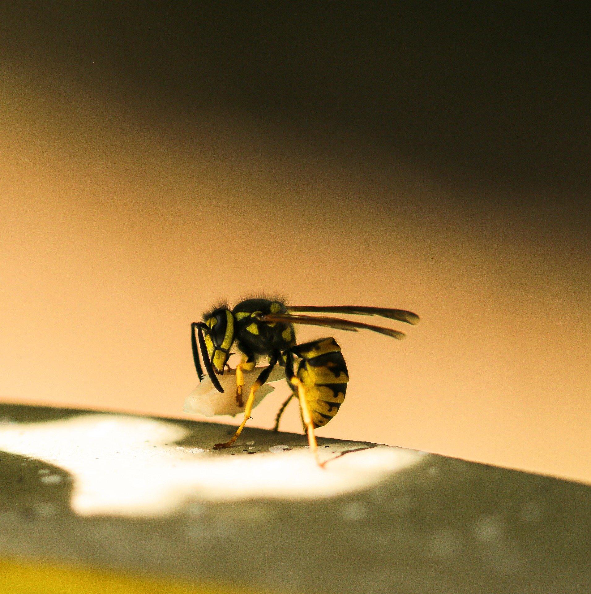 Trapdoor spider 'stunt double' study reveals summer wasp threat