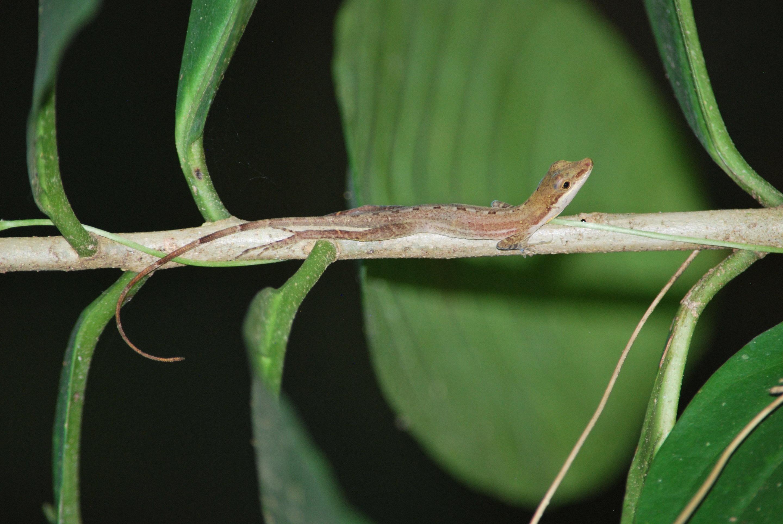study sheds light on biodiversity of anole lizard family trees