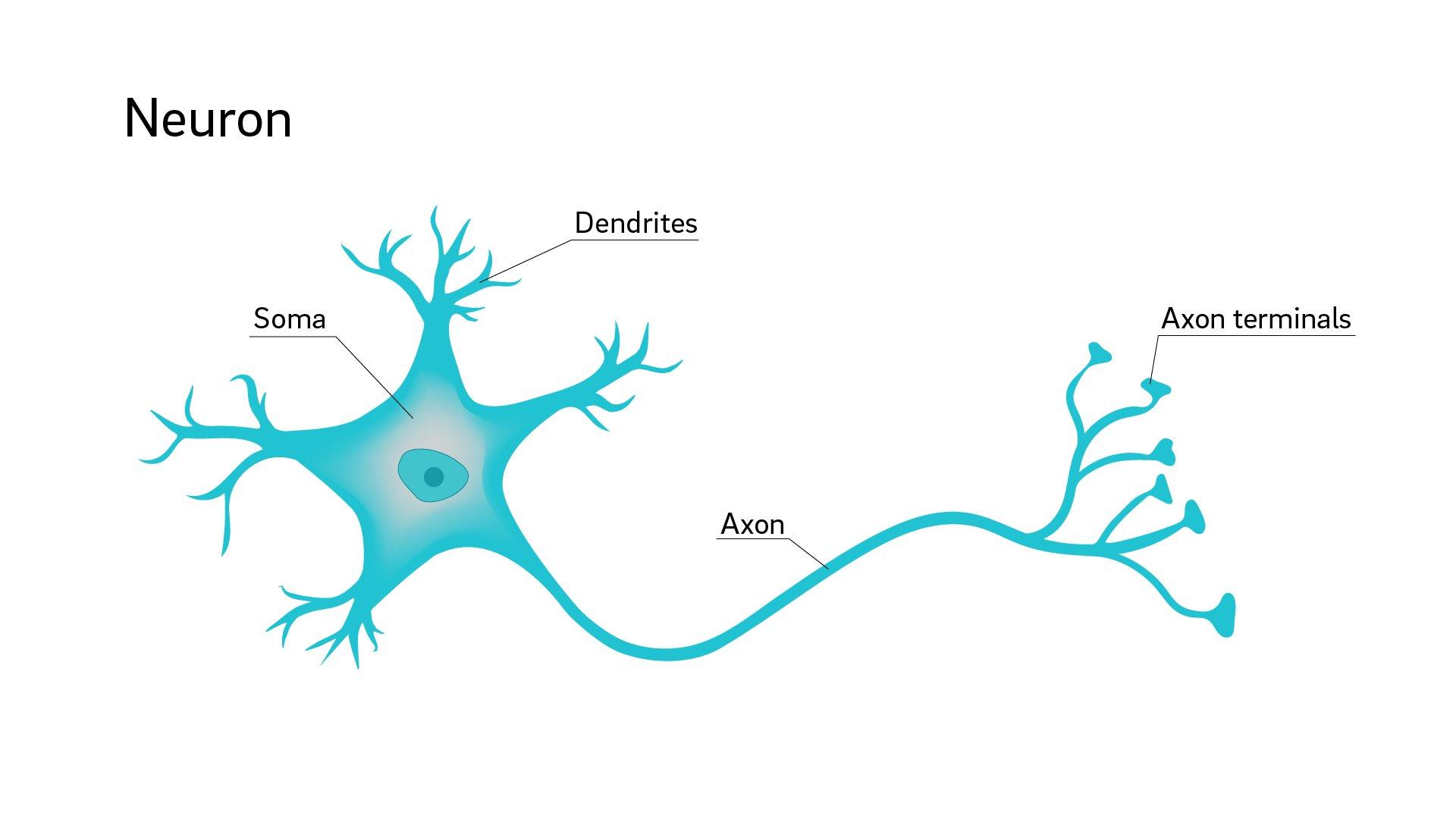 Neuron. What is an axon 38
