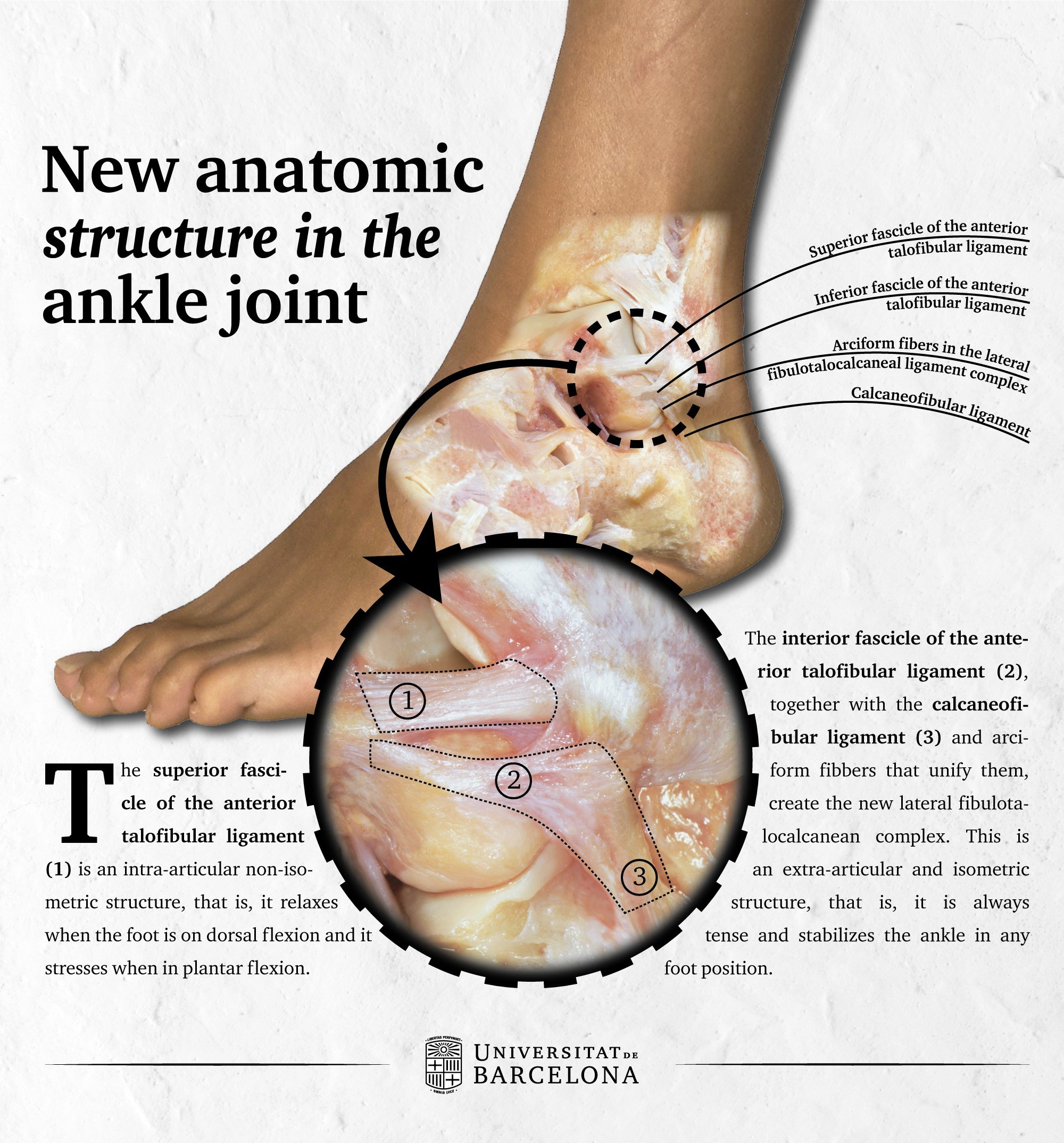 Researchers Describe A New Anatomic Structure In The Ankle