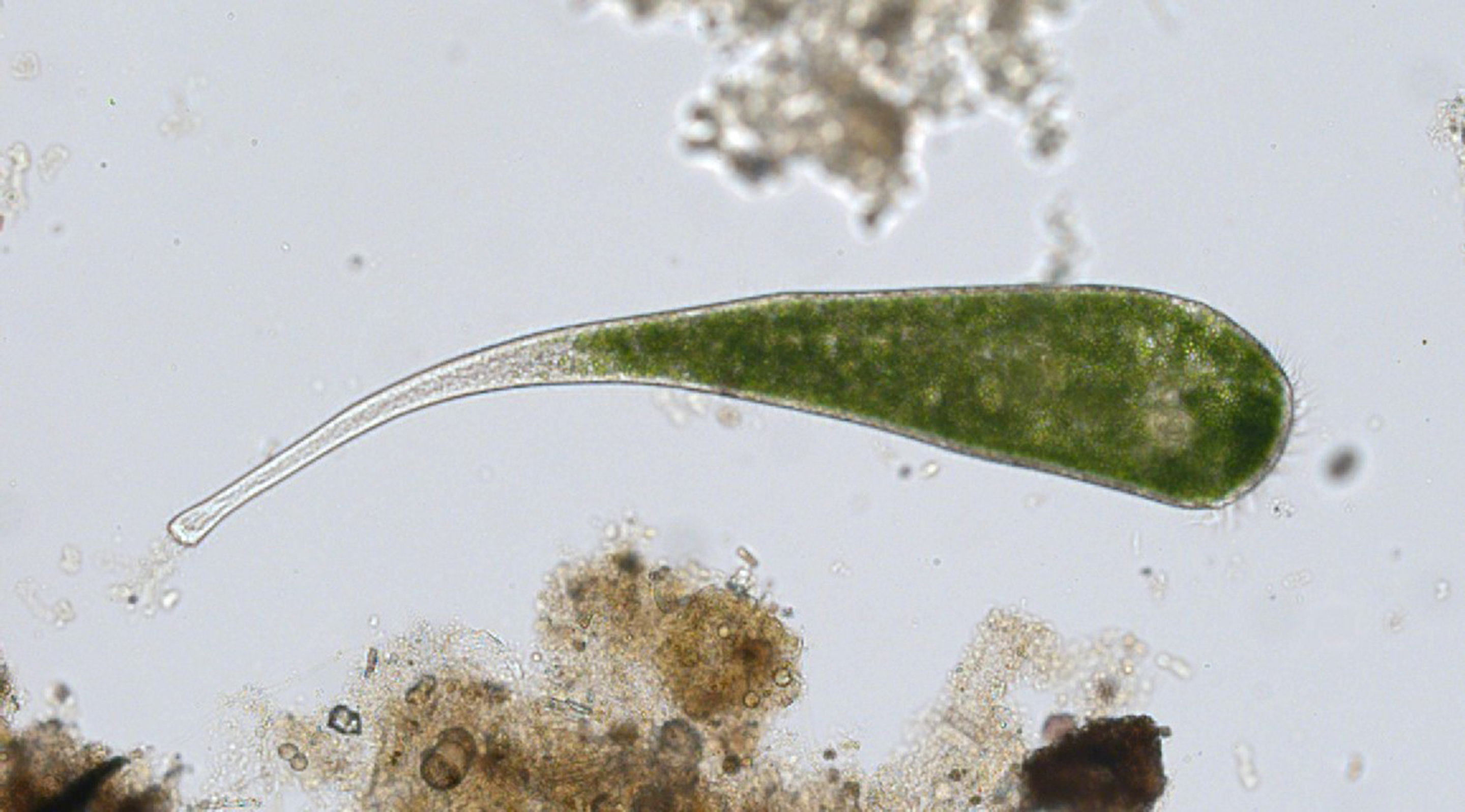 One Celled Organism >> Study reveals how unicellular organism repairs itself