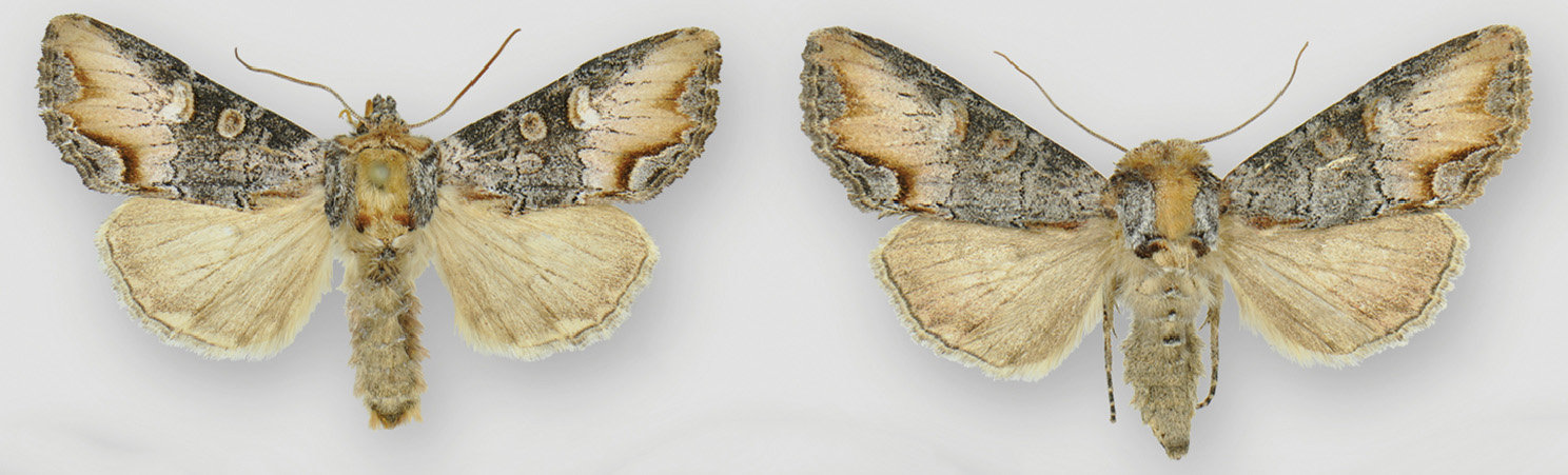 Male (left) and female (right) of the newly described owlet moth species Admetovis icarus. Credit: Lars G. Crabo