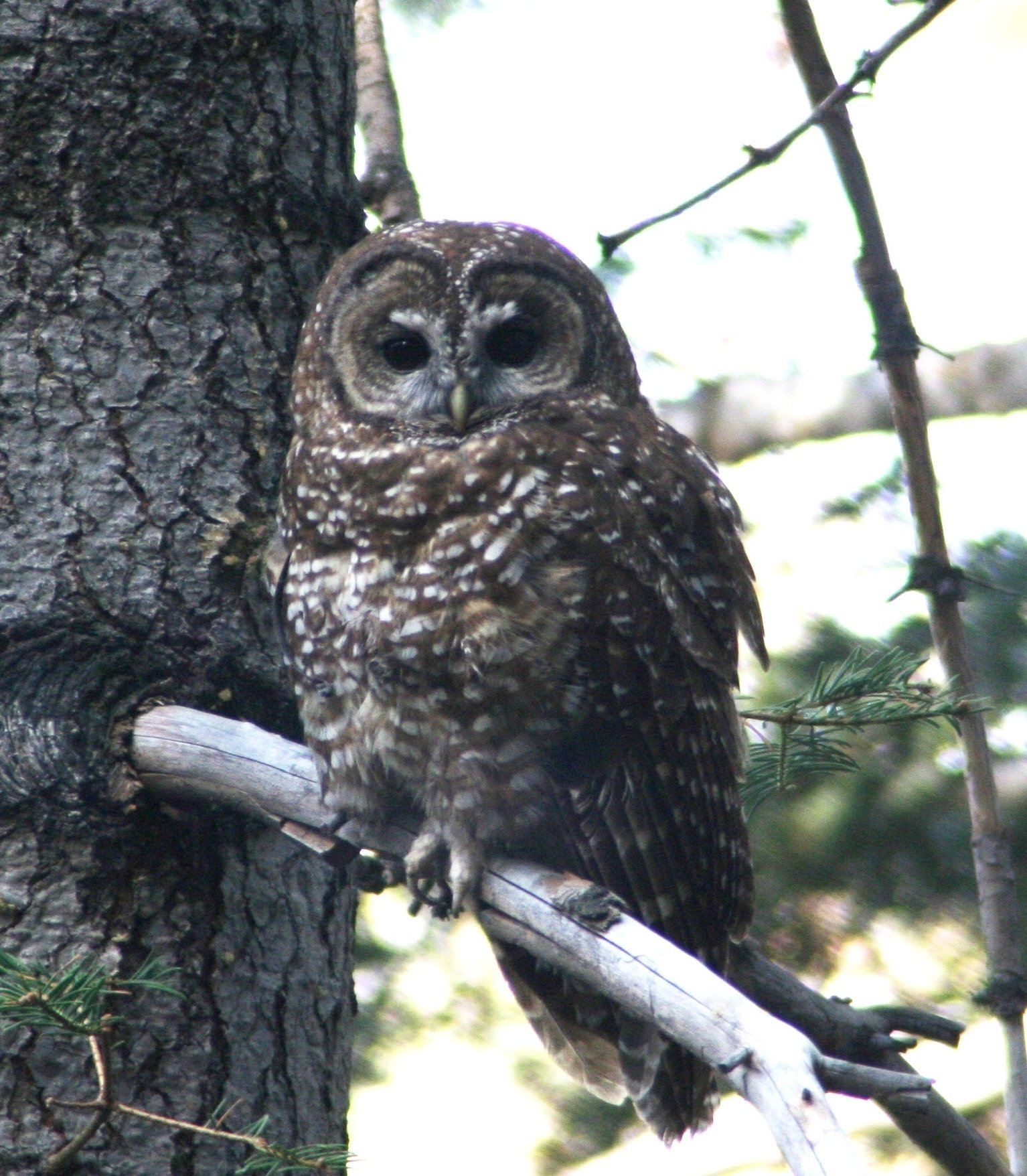 an overview of the northern spotted owl Management options for the northern spotted owl in british columbia an overview of recent research on the spotted spotted owls are described as three.