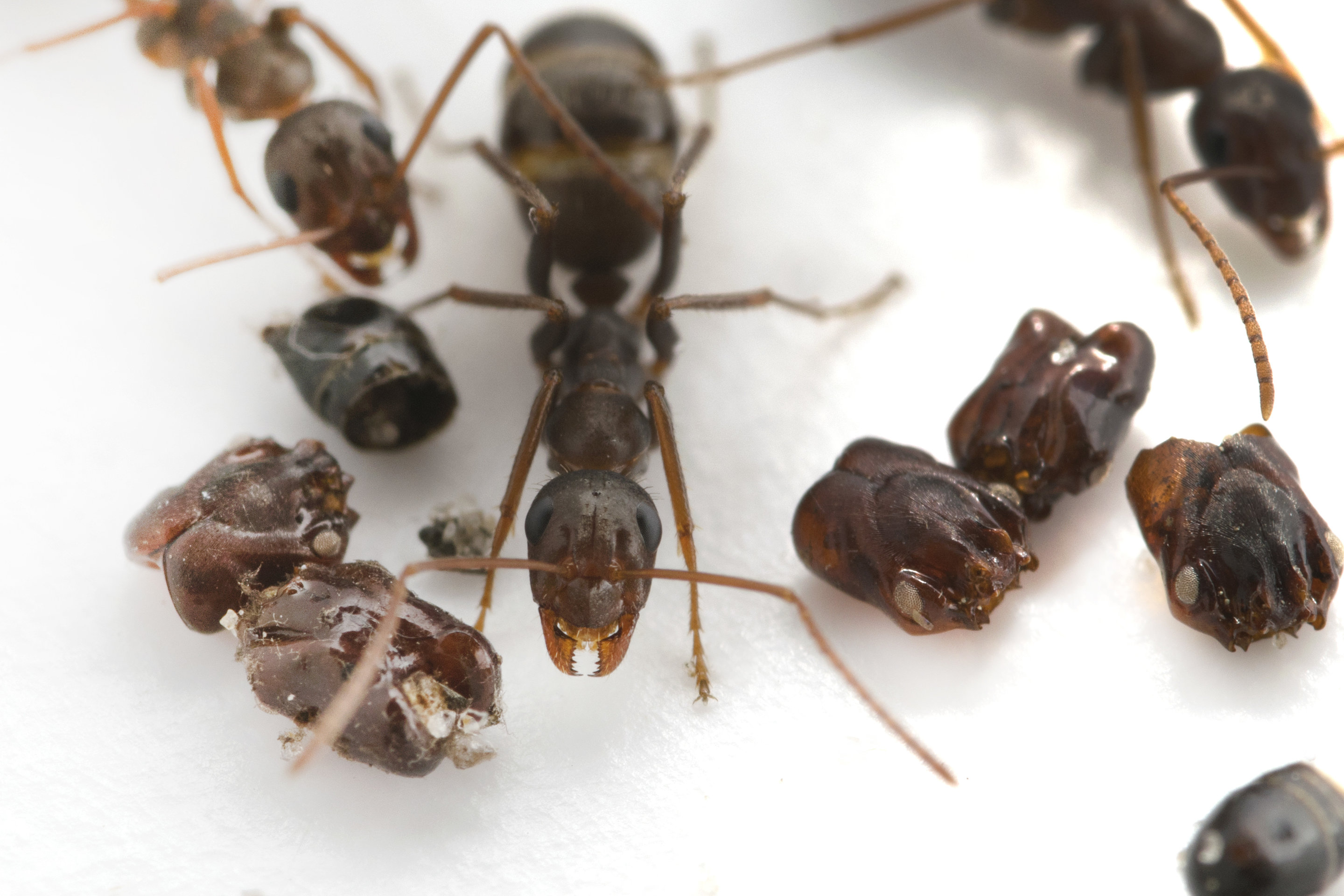 New research uncovers the predatory behavior of Florida's skull-collecting ant