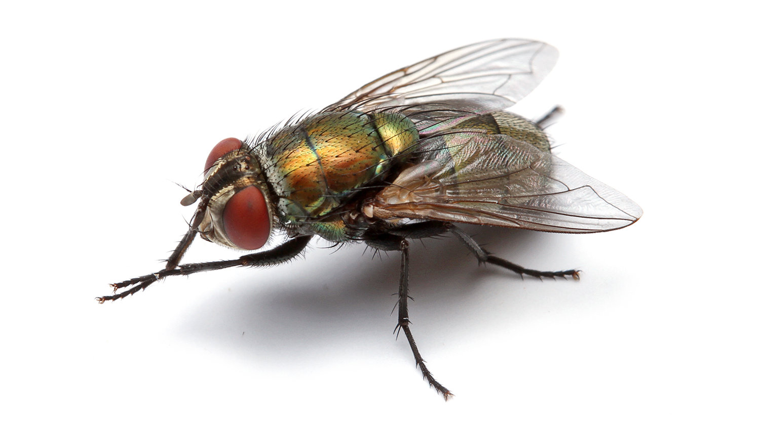 How to sex a blowfly