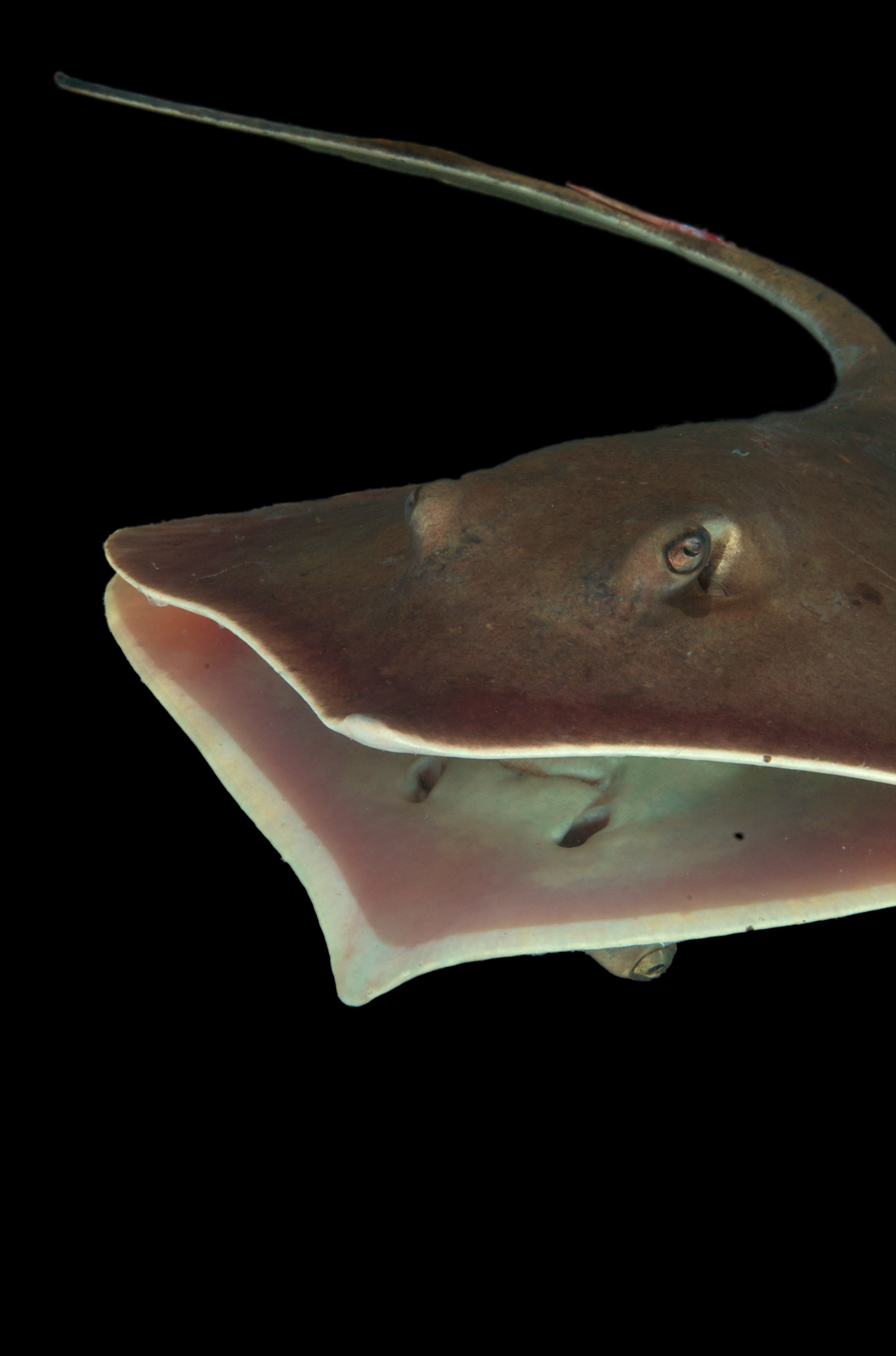 Deepwater Horizon oil spill's dramatic effect on stingrays' sensory abilities