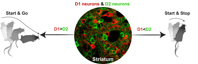 Scientists develop novel technique to study brain disease