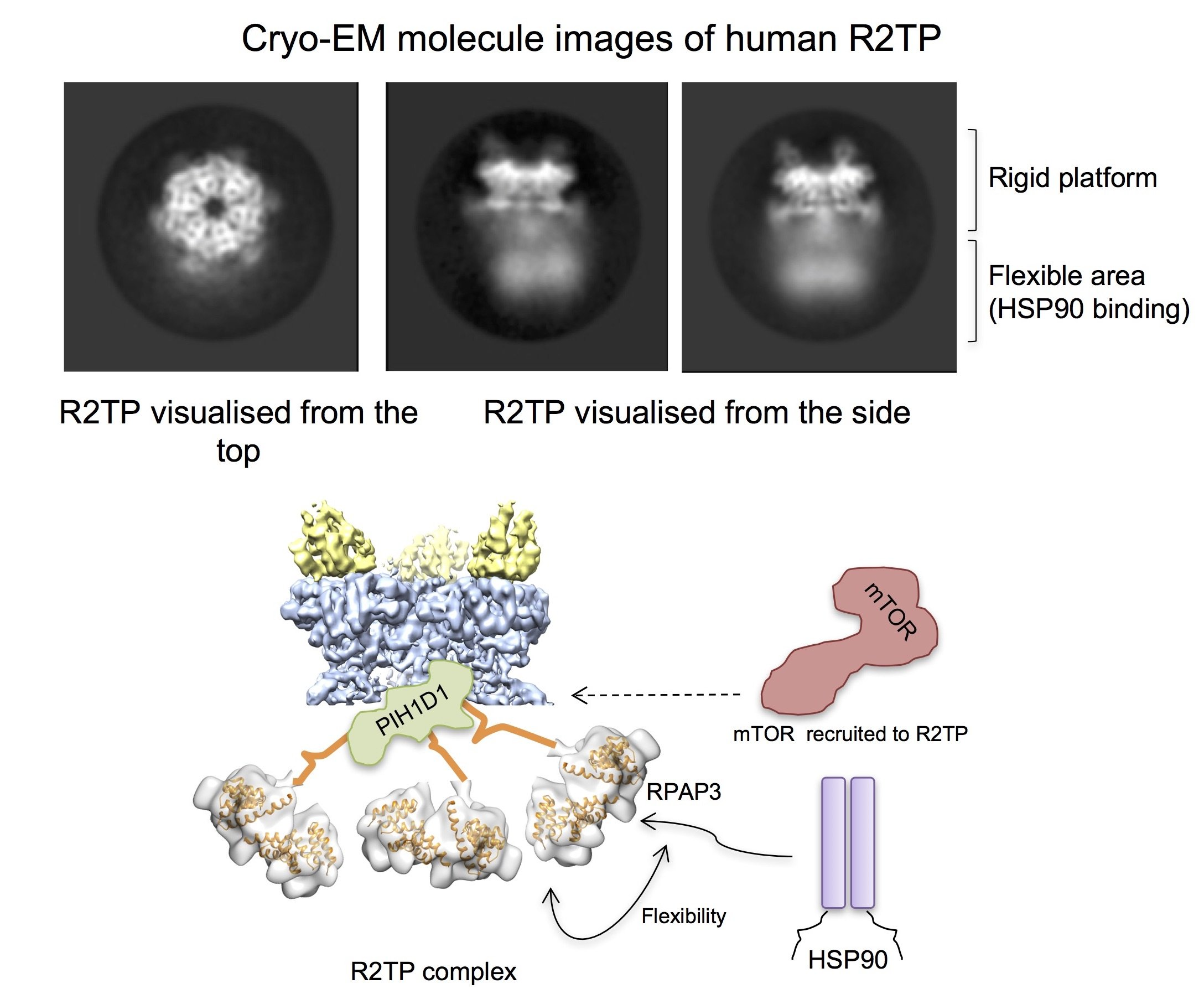 photo image Structure of a protein complex related with cell survival revealed