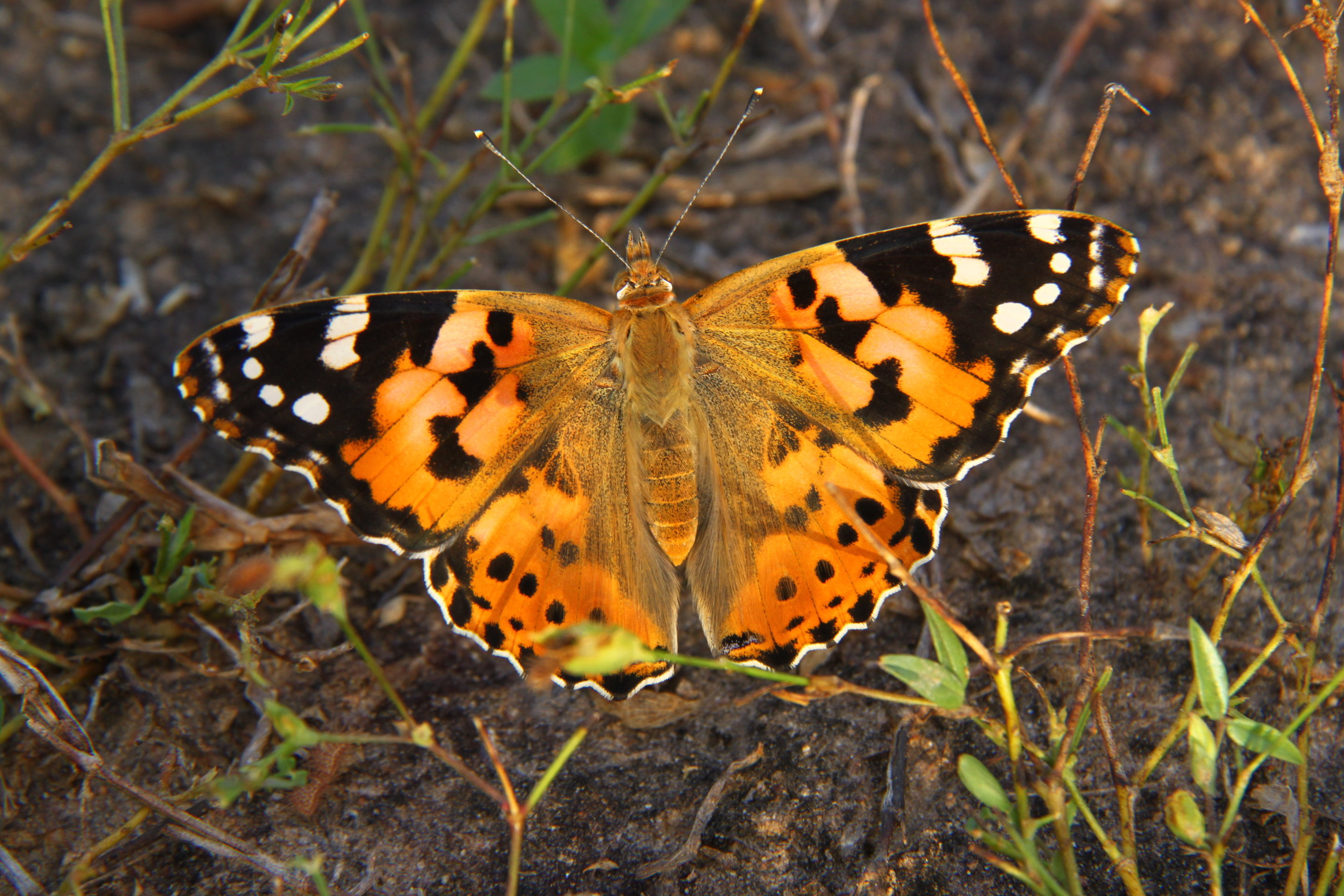 photo image Painted lady's roundtrip migratory flight is the longest recorded in butterflies