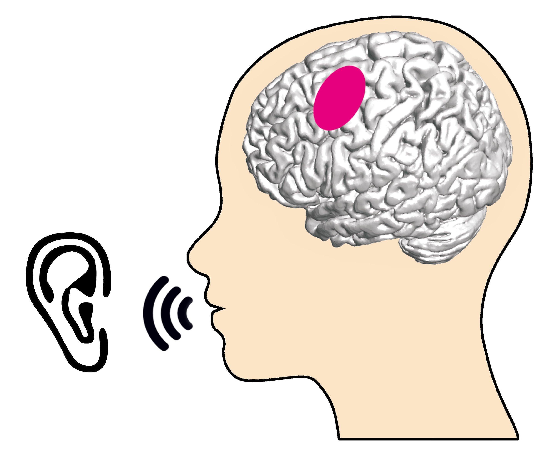 What Articulation Relevant Brain Regions Do When We Listen