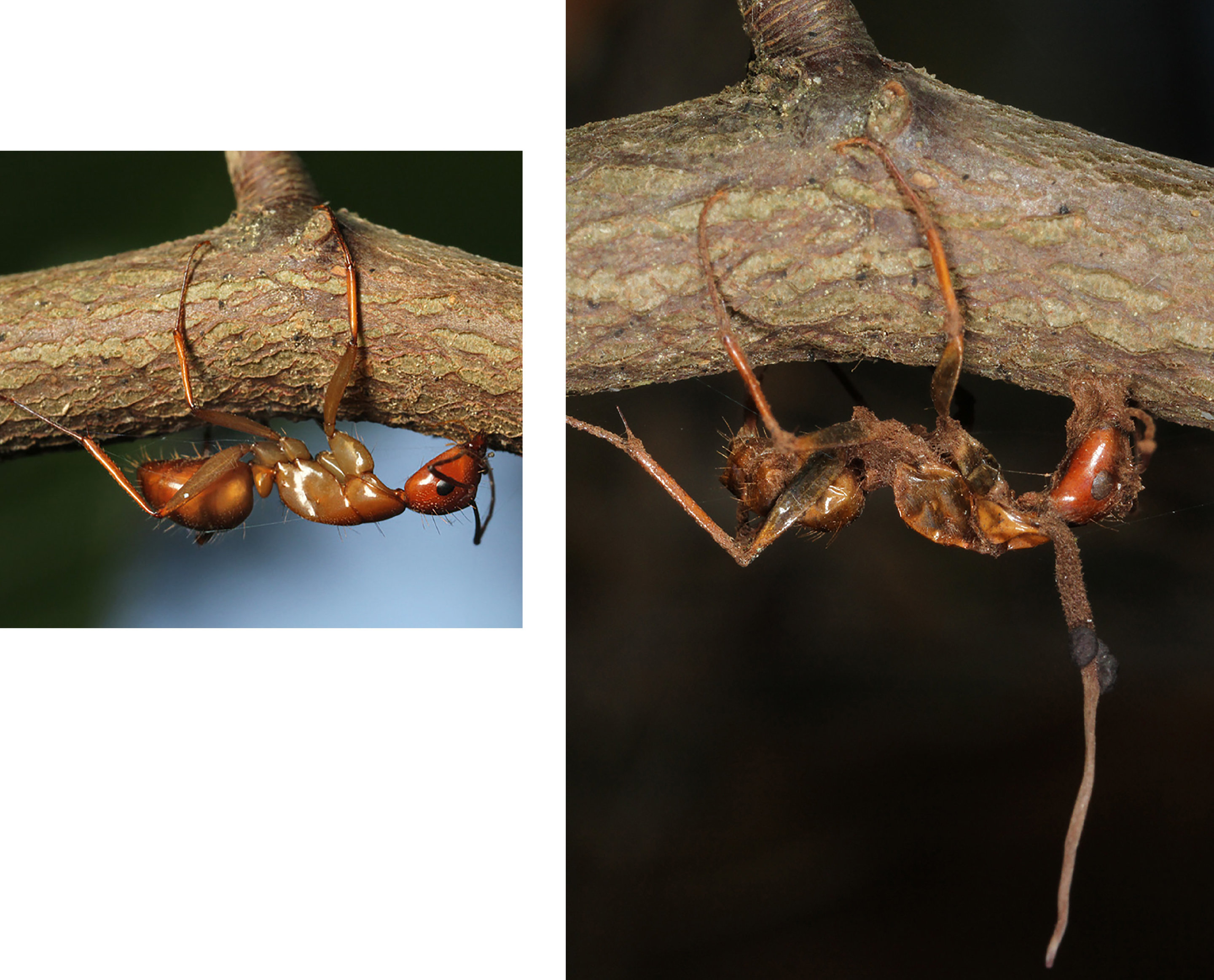Climate change forced zombie ant fungi to adapt