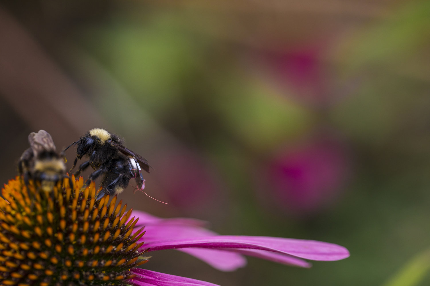 Researchers create first sensor package that can ride aboard bees - Tech Xplore