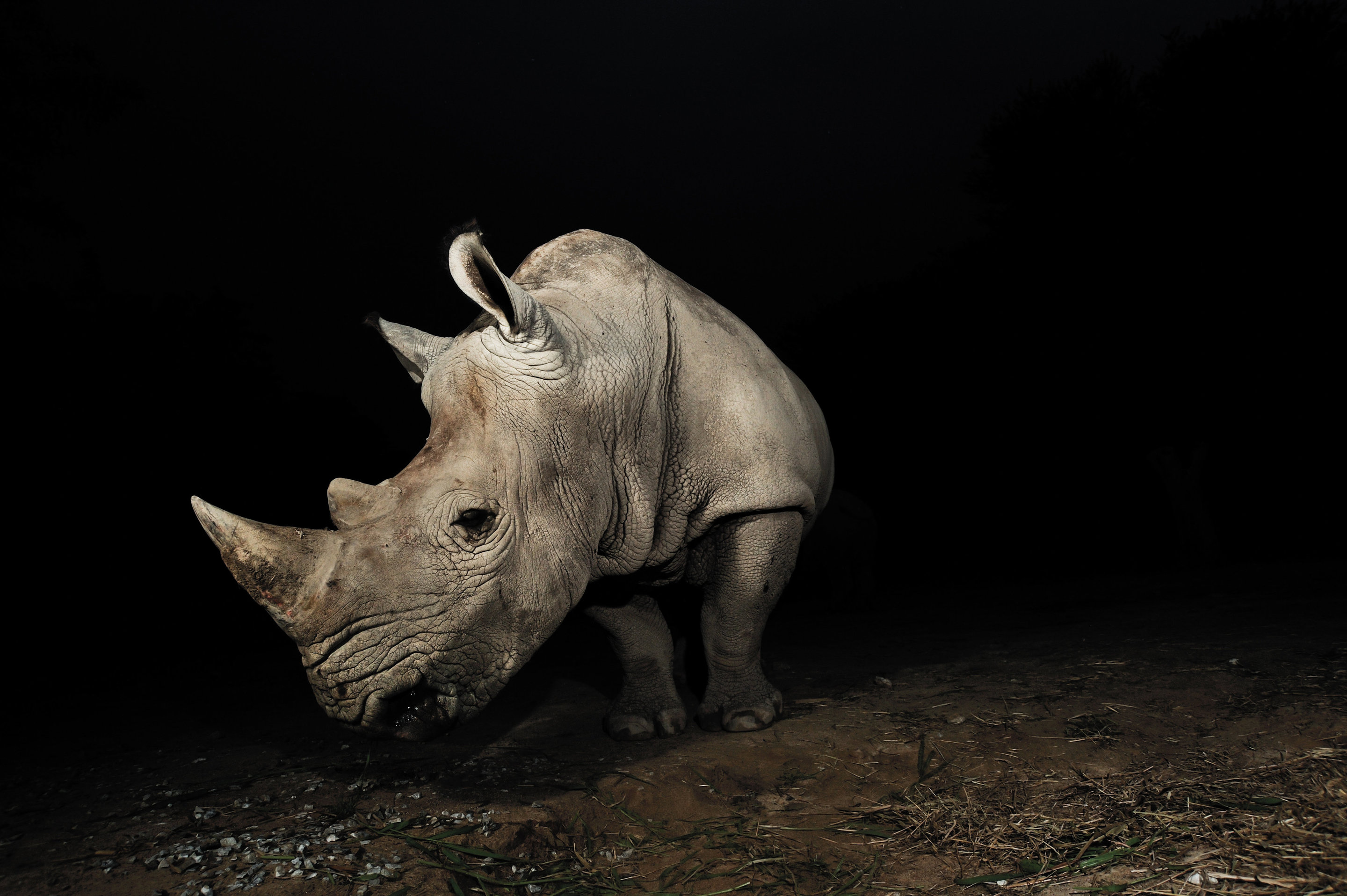 Why do rare animals continue to die out