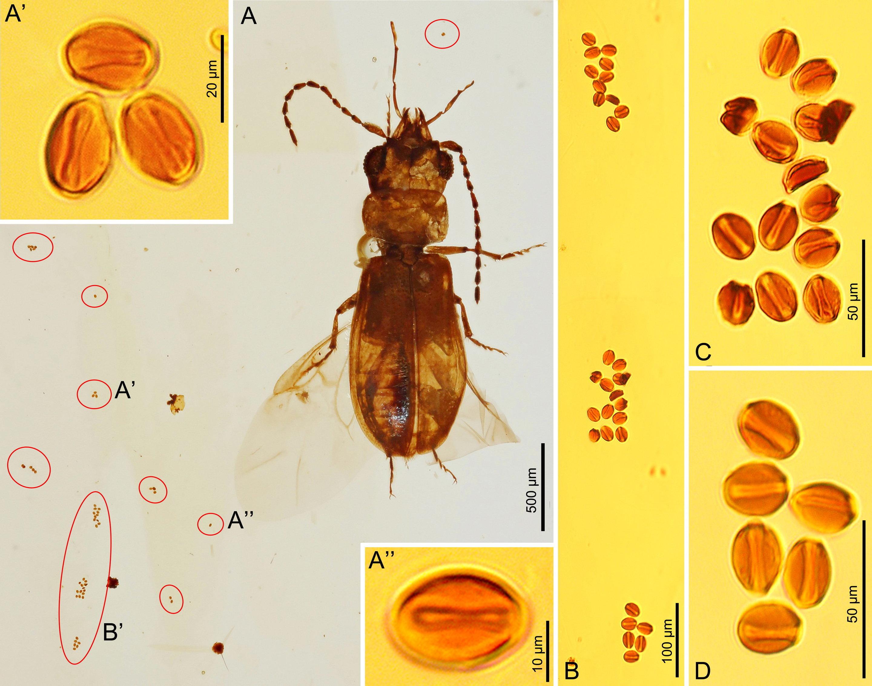 Cycad Pollen Grains Associated With C Cycadophilus Credit NIGPAS