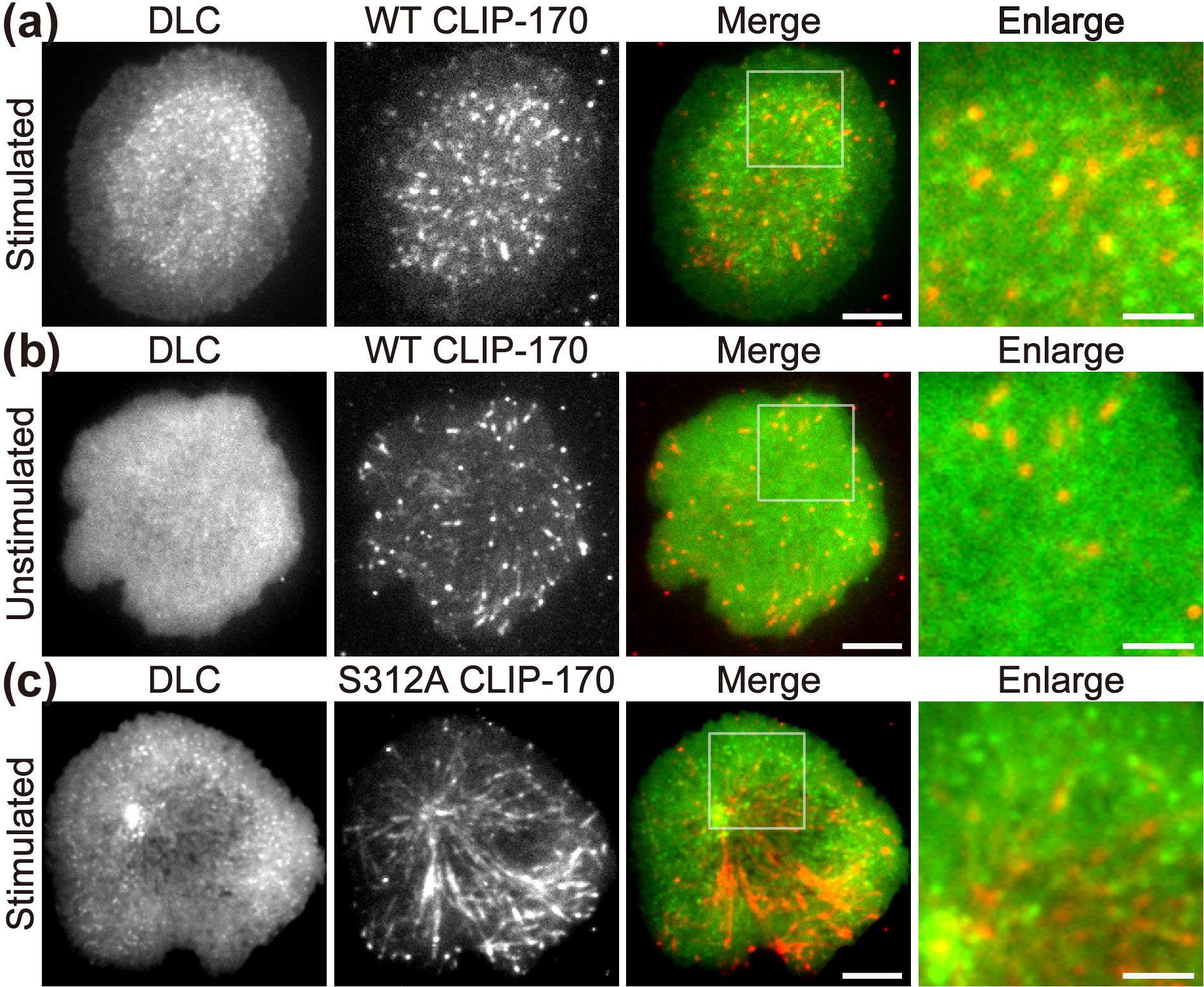 photo image A new molecular player involved in T cell activation