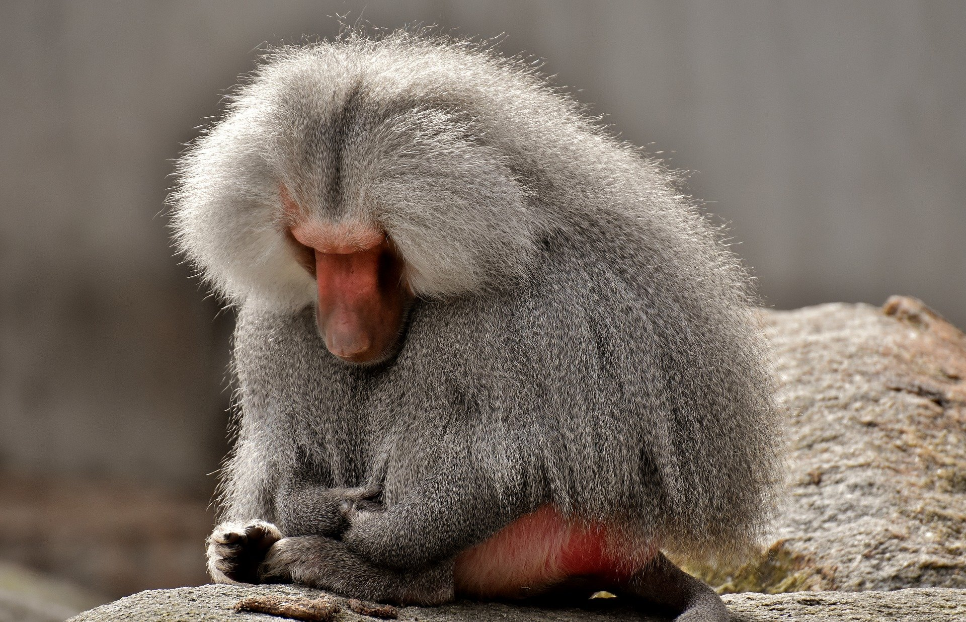 Why did Dr Sapolsky choose Baboons to study stress?