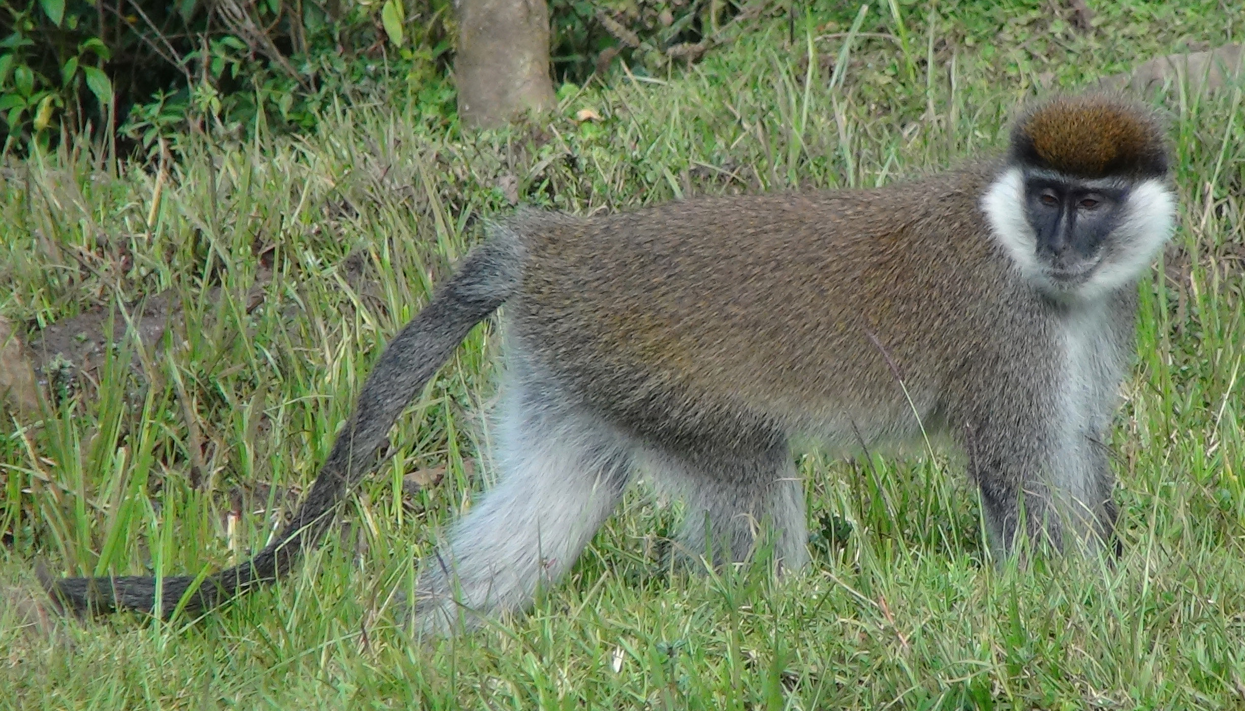Image result for Population genetic structure and evolutionary history of Bale monkeys (Chlorocebus djamdjamensis) in the southern Ethiopian Highlands