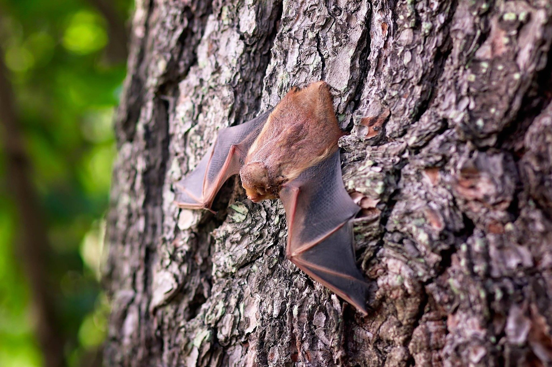 Researchers discover the secret to bats' immunity