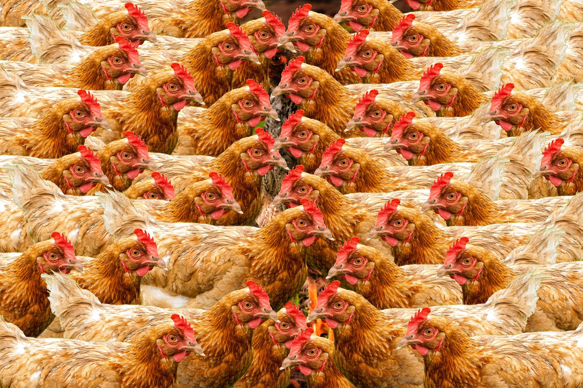 Researchers suggest broiler chicken is the hallmark of the Anthropocene