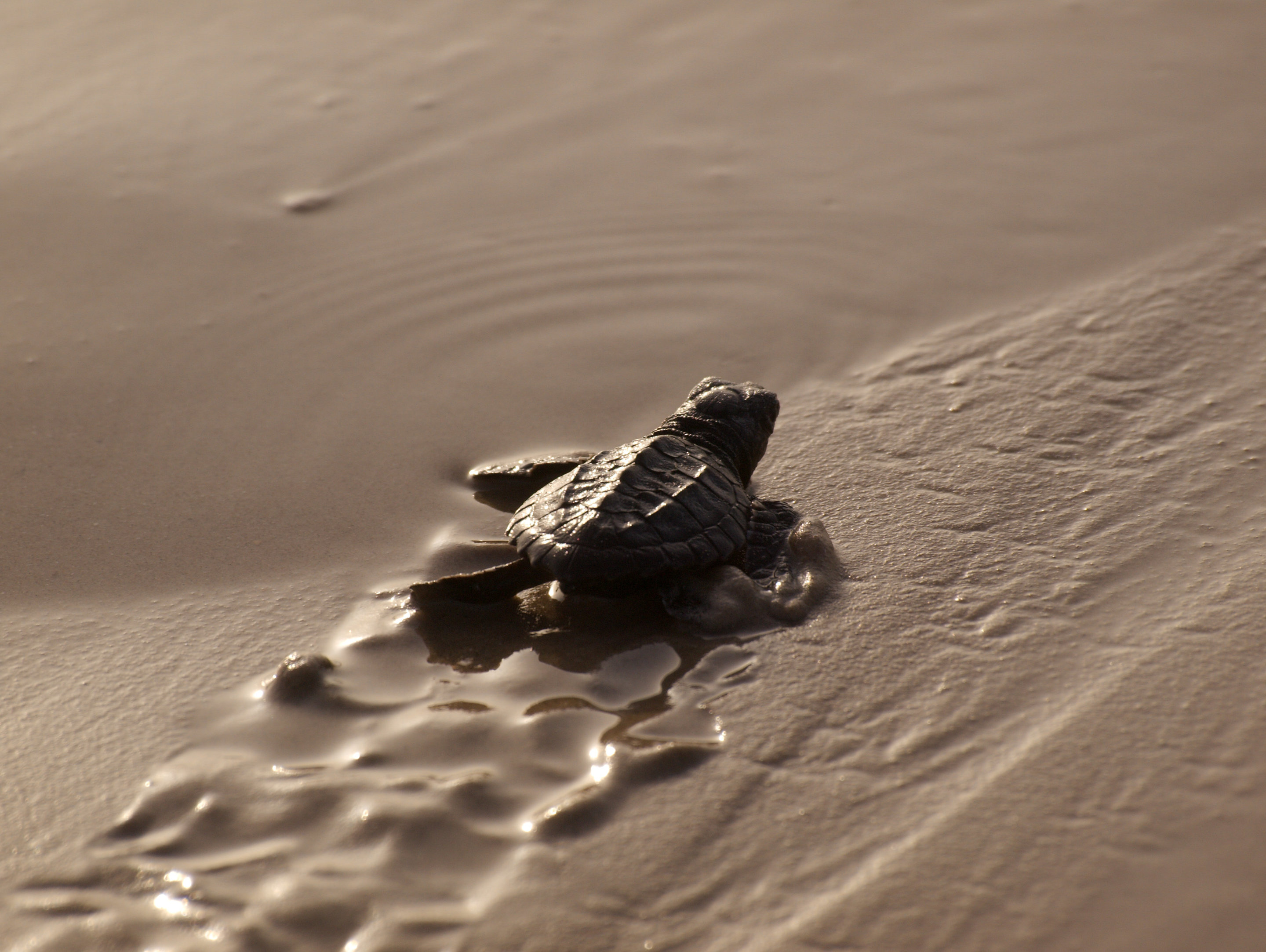Beaches are becoming safer for baby sea turtles but threats await a kemps ridley hatchling makes its way to the water on padre island texas credit terry ross cc by sa publicscrutiny Gallery