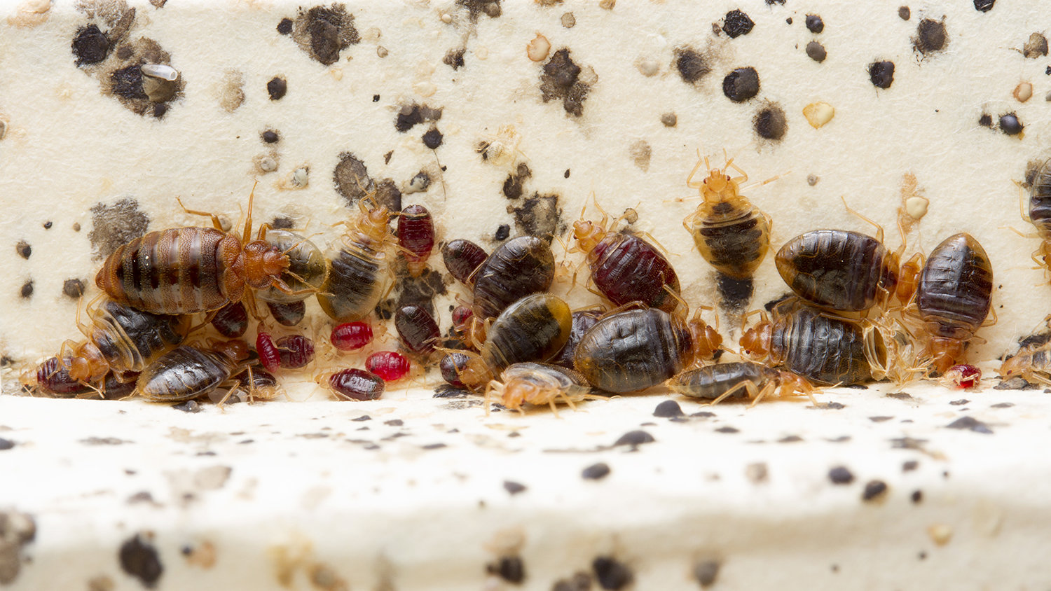 bed bug histamines are substantial persistent in infested homes