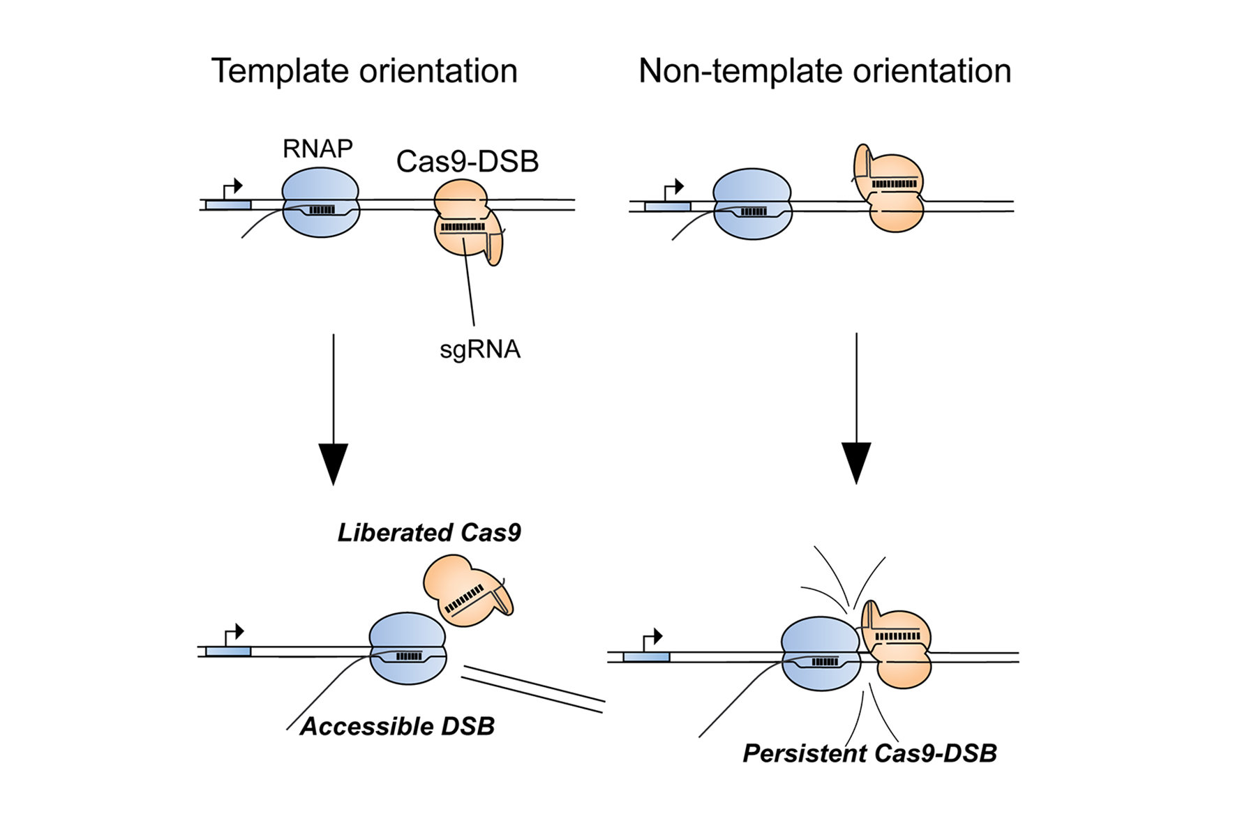 photo image Biochemists discover cause of genome editing failures with hyped CRISPR system