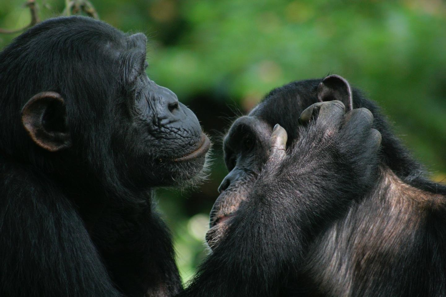 Bonobo And Chimpanzee Gestures Share Many Meanings