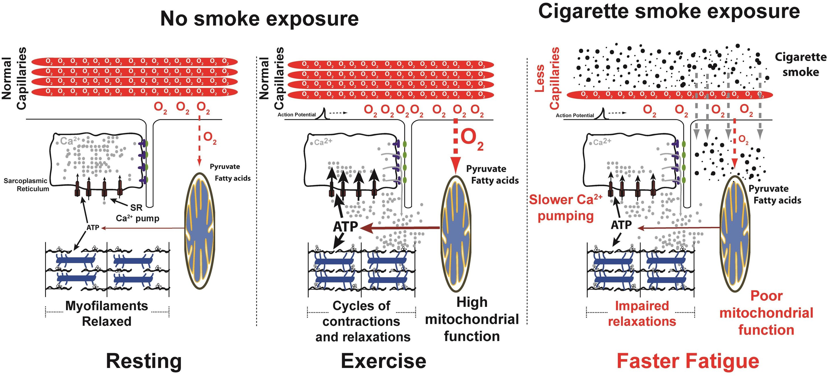 Cigarette Smoke Directly Damages Muscles In The Body