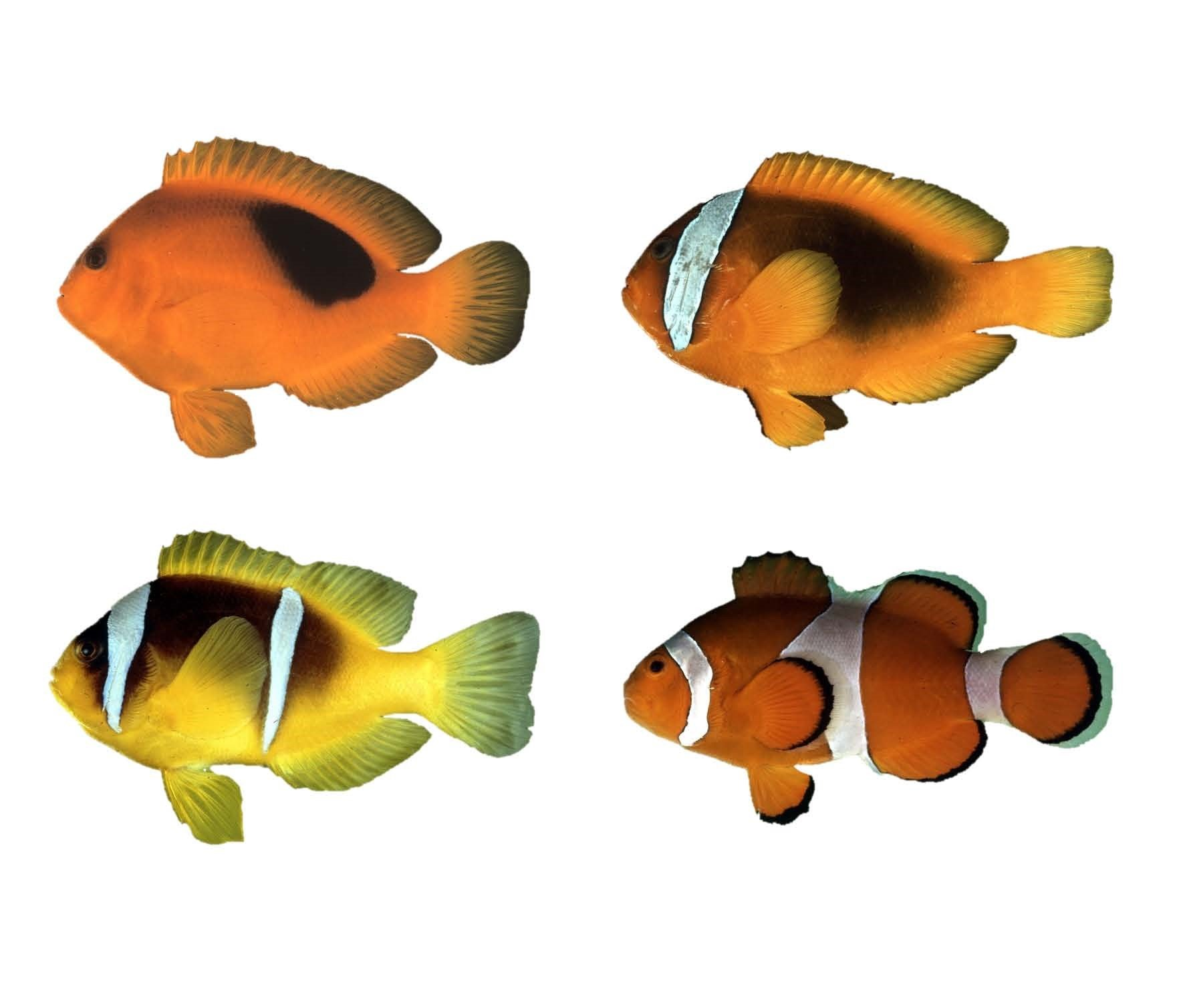 how the clownfish earned its stripes color pattern evolution in
