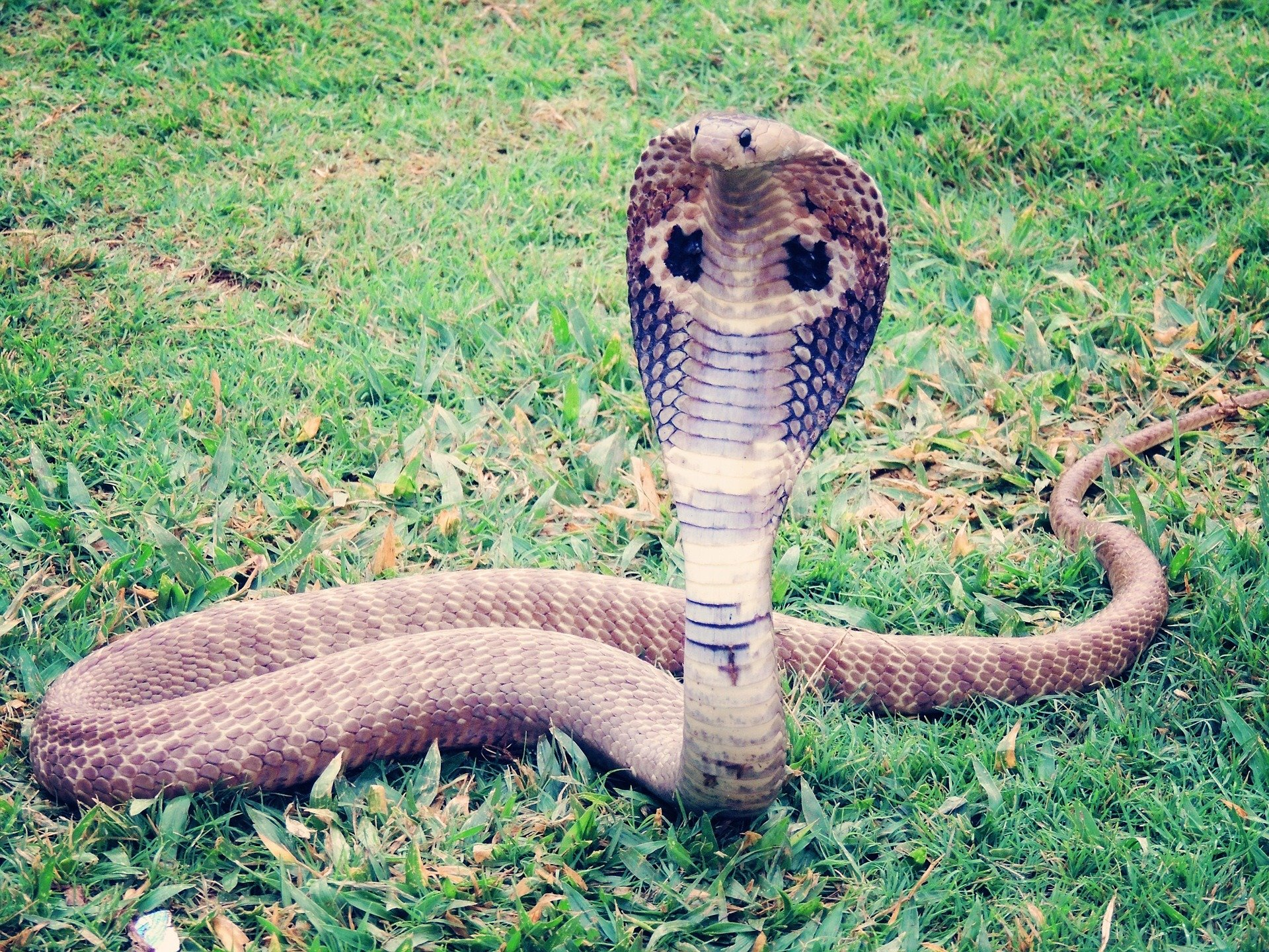 widespread giant african cobra revealed to be five distinct species
