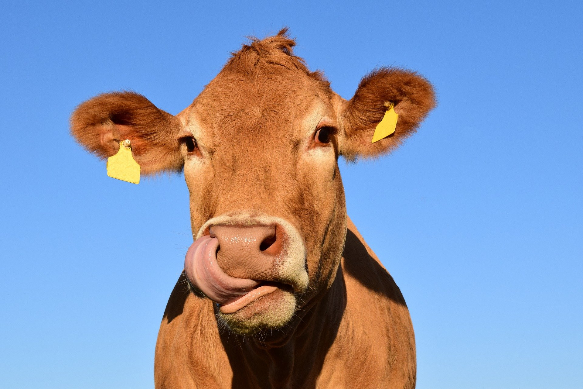 cows found to be willing to work hard to gain access to a grooming brush